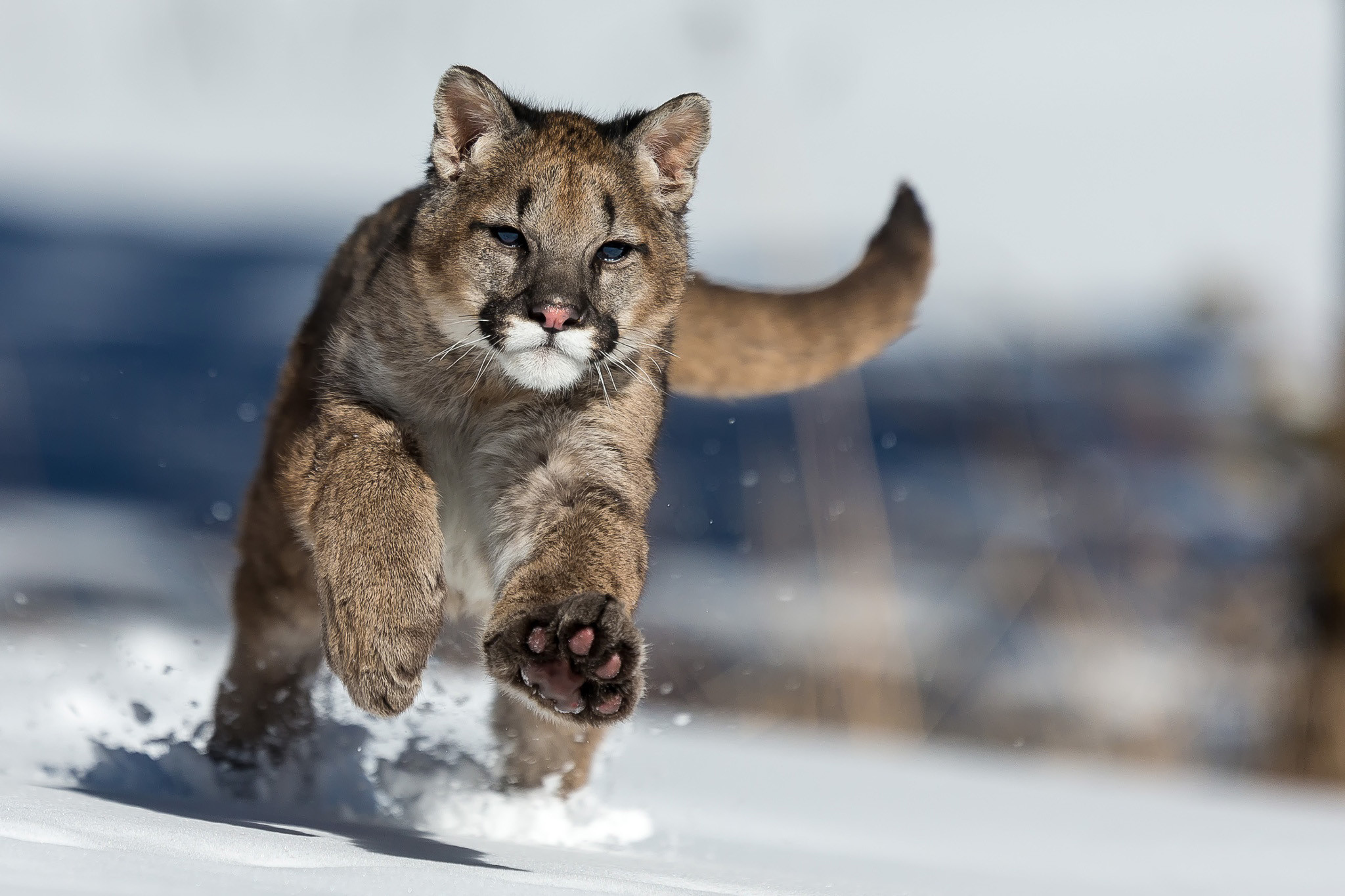Funny image of skunk beside reeds on winter · free download Tiger Cat  Running In White Winter Snow Macro HD wallpaper