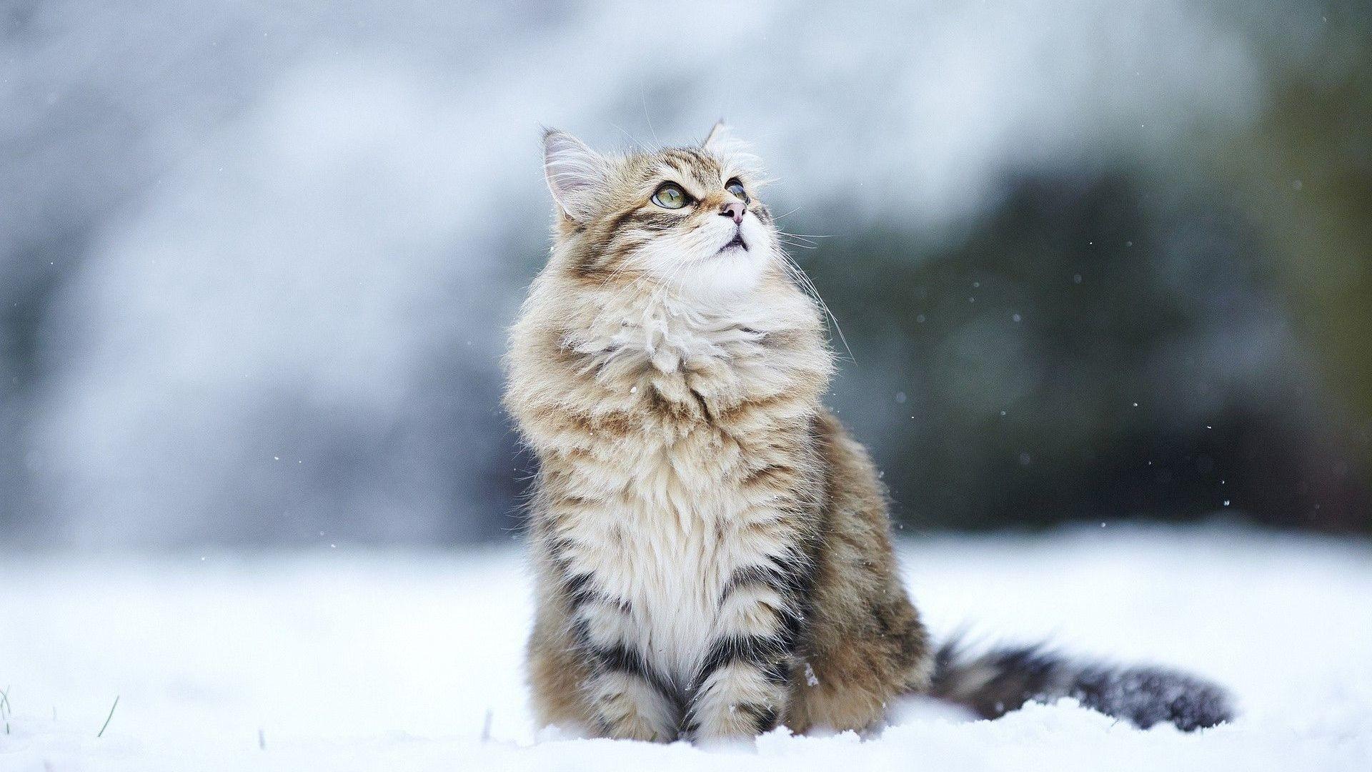 cat-winter-hd-wallpaper-taborat-winter-cats-wallpaper-