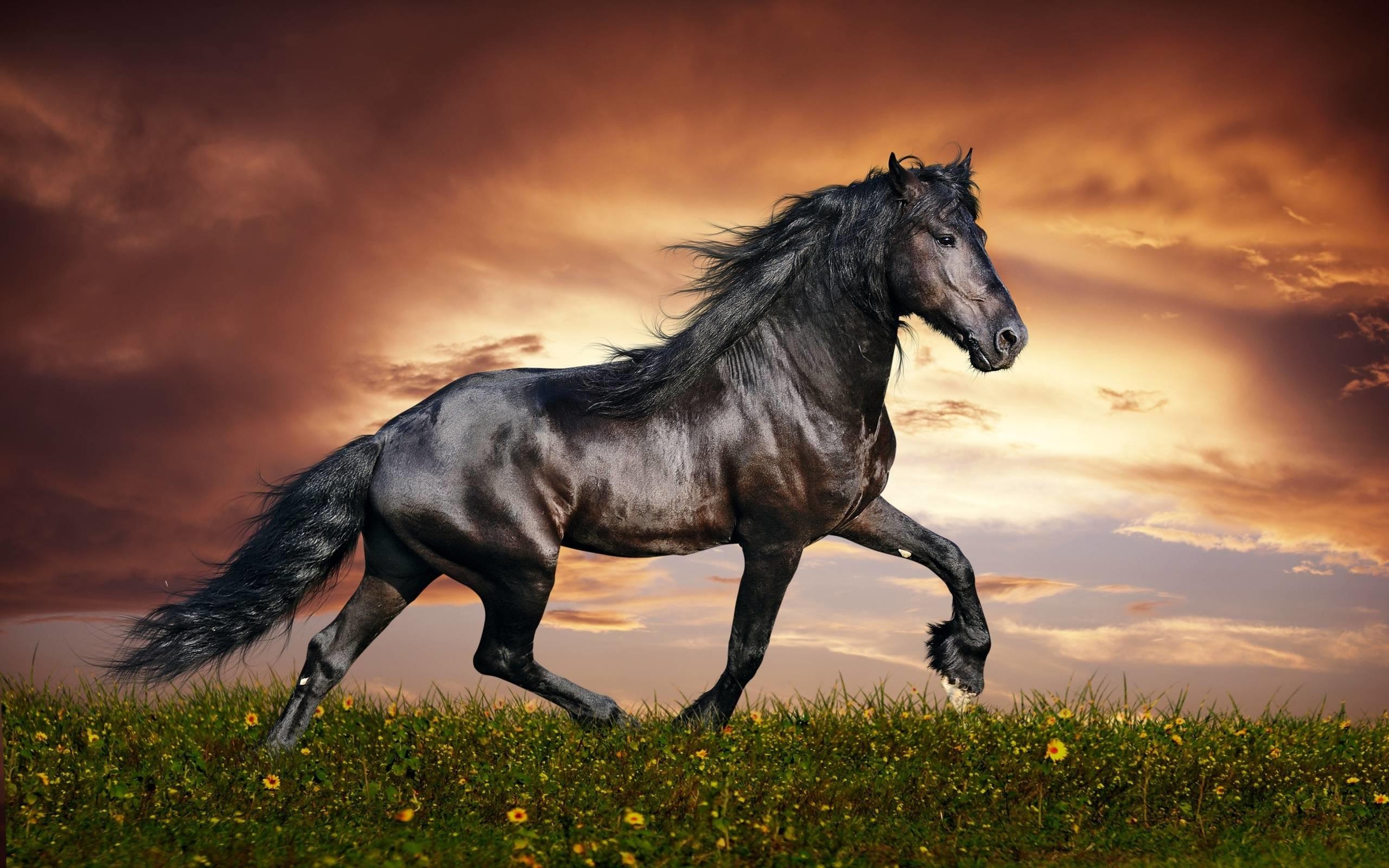 Wallpapers For > Black Arabian Horse Wallpaper
