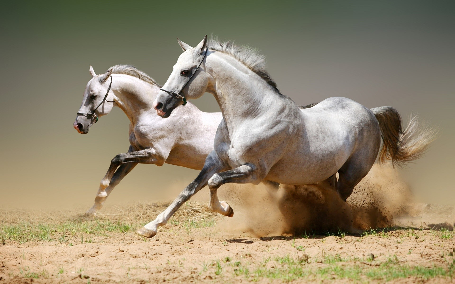 Arabian horse wallpapers – photo#3