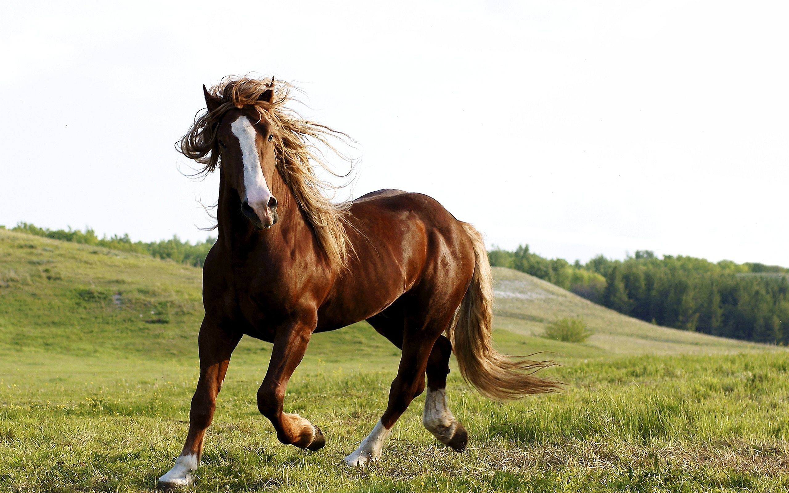 Brown horse Wallpapers