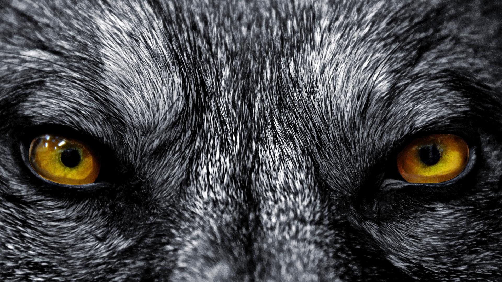 Wolf HD desktop wallpaper High Definition Fullscreen Mobile