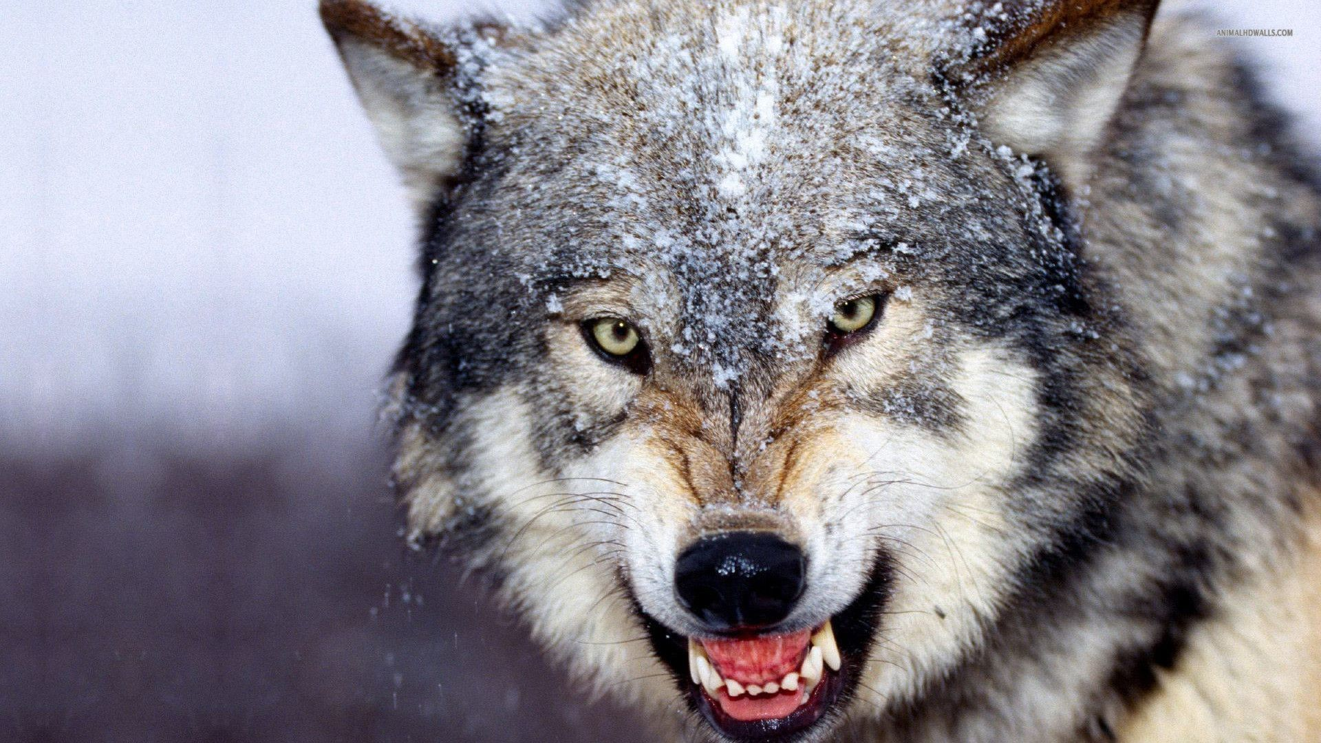 Wolf Pack Fantasy Abstract Background Wallpapers on Desktop Wolf Pack Wallpapers  Wallpapers)