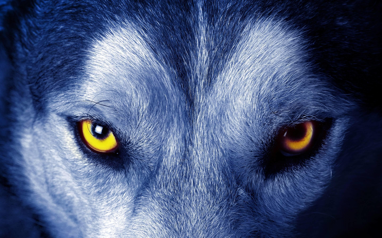Wolf Eyes Wallpaper   Free HD Desktop Backgrounds