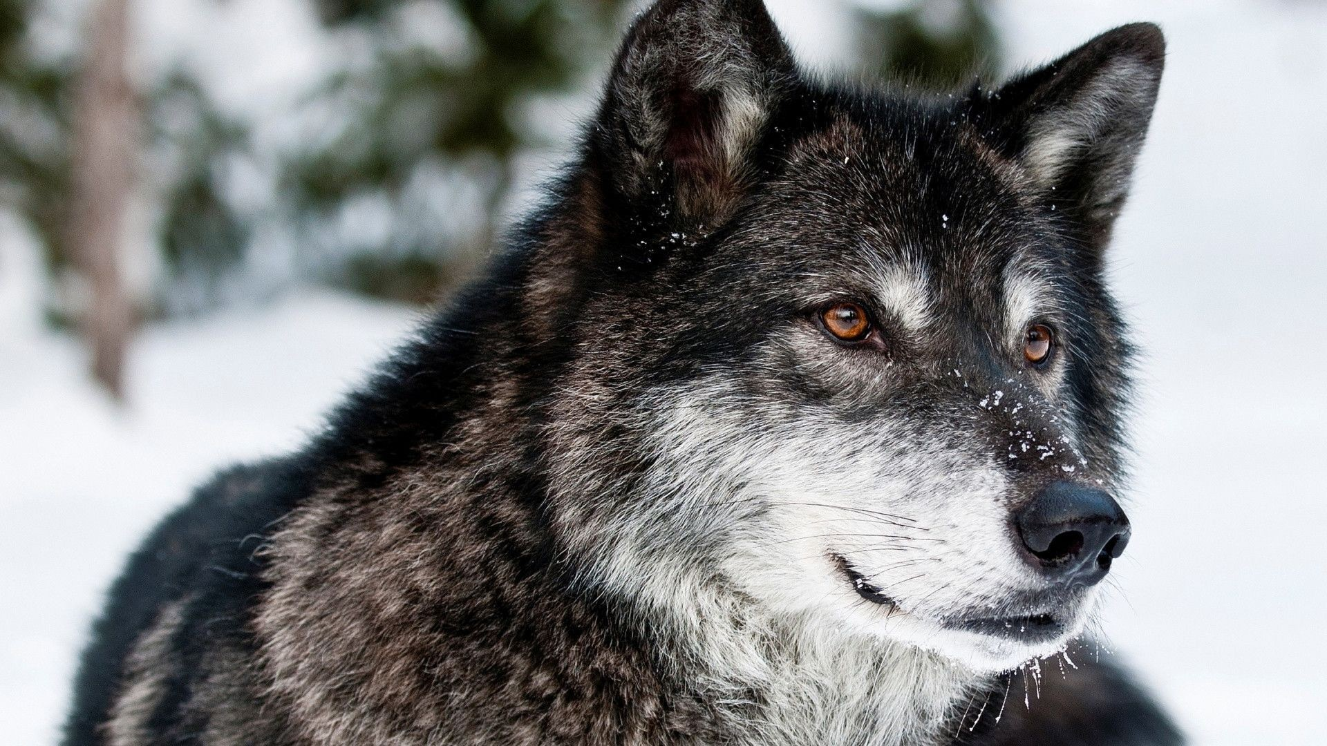 Wolf HD Wallpapers Backgrounds Wallpaper 1024×768 Cool Wolf Backgrounds (47  Wallpapers) |