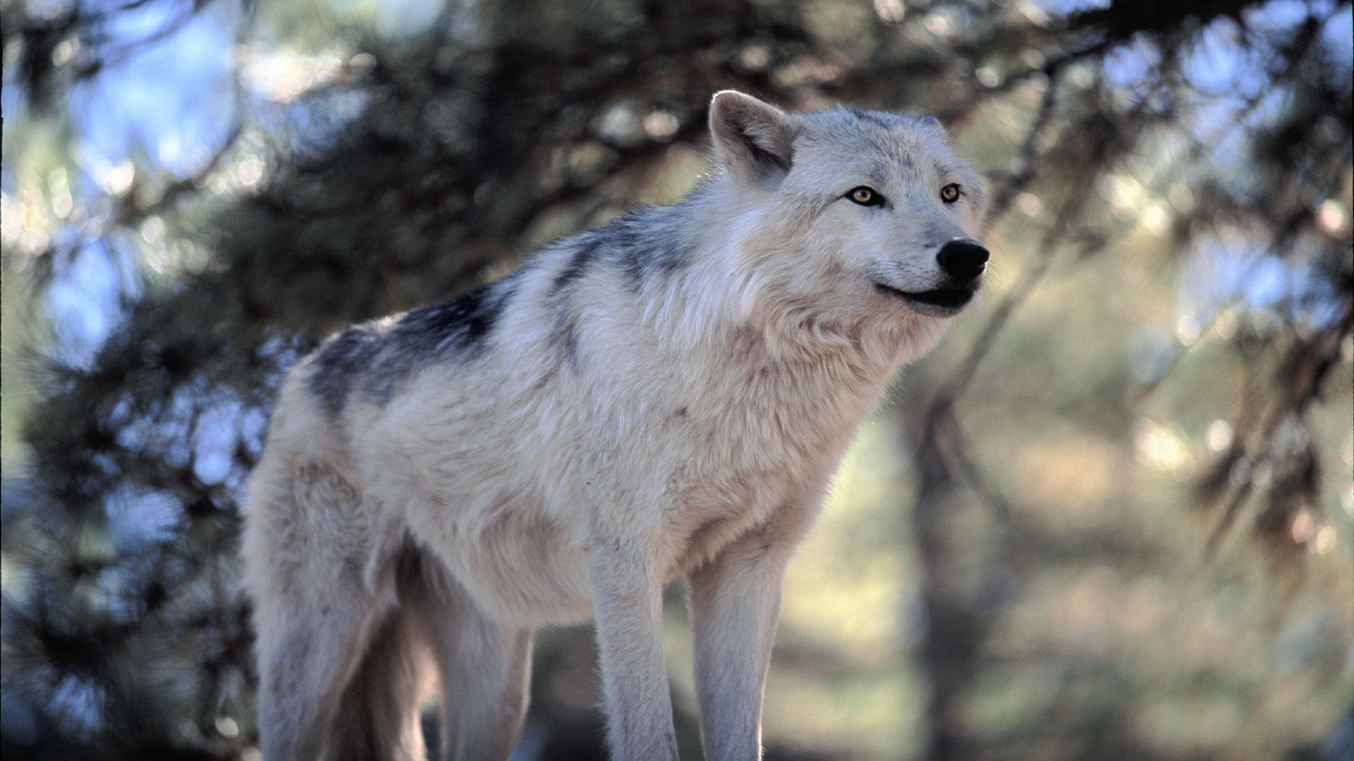 Wolf Natural Awesome HD view White wolves in wildlife sanctuary natural HD  Image shot