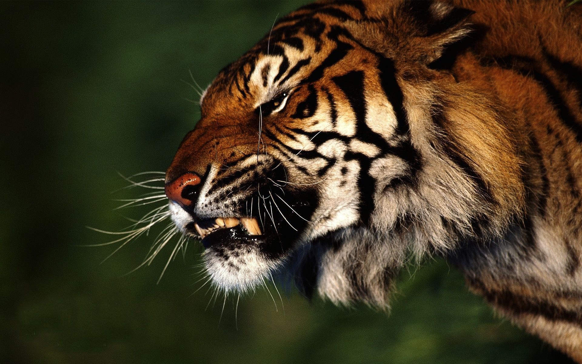 angry tiger wallpapers download