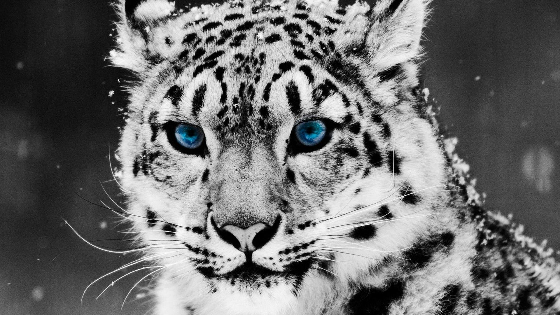 … cool tiger wallpaper hd tiger desktop wallpaper best images …