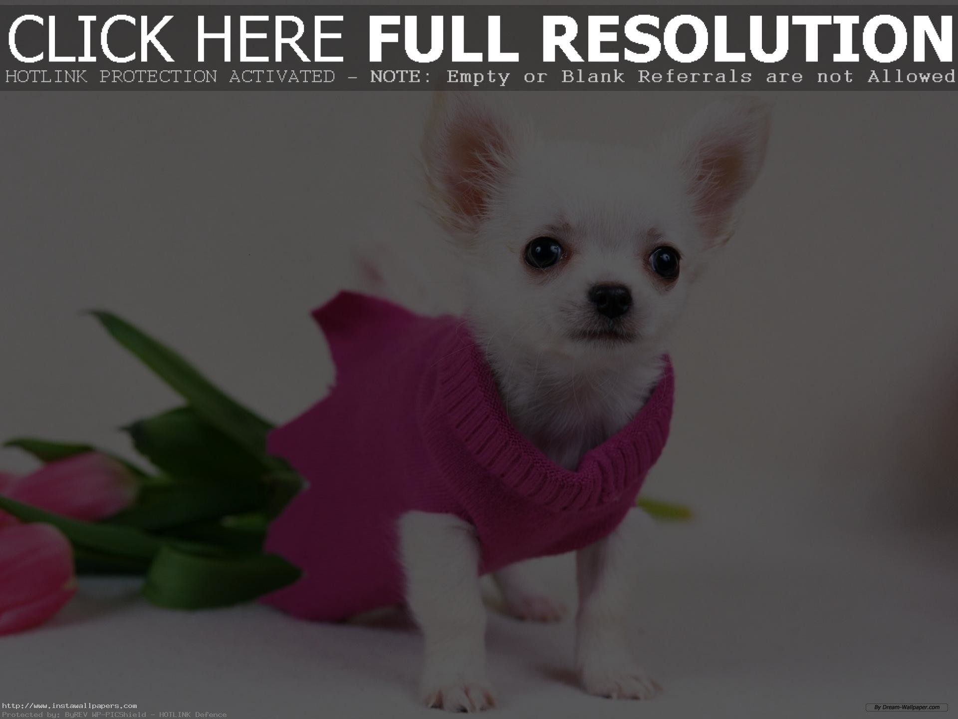 free chihuahua puppy wallpaper for desktop HD PC Laptop background
