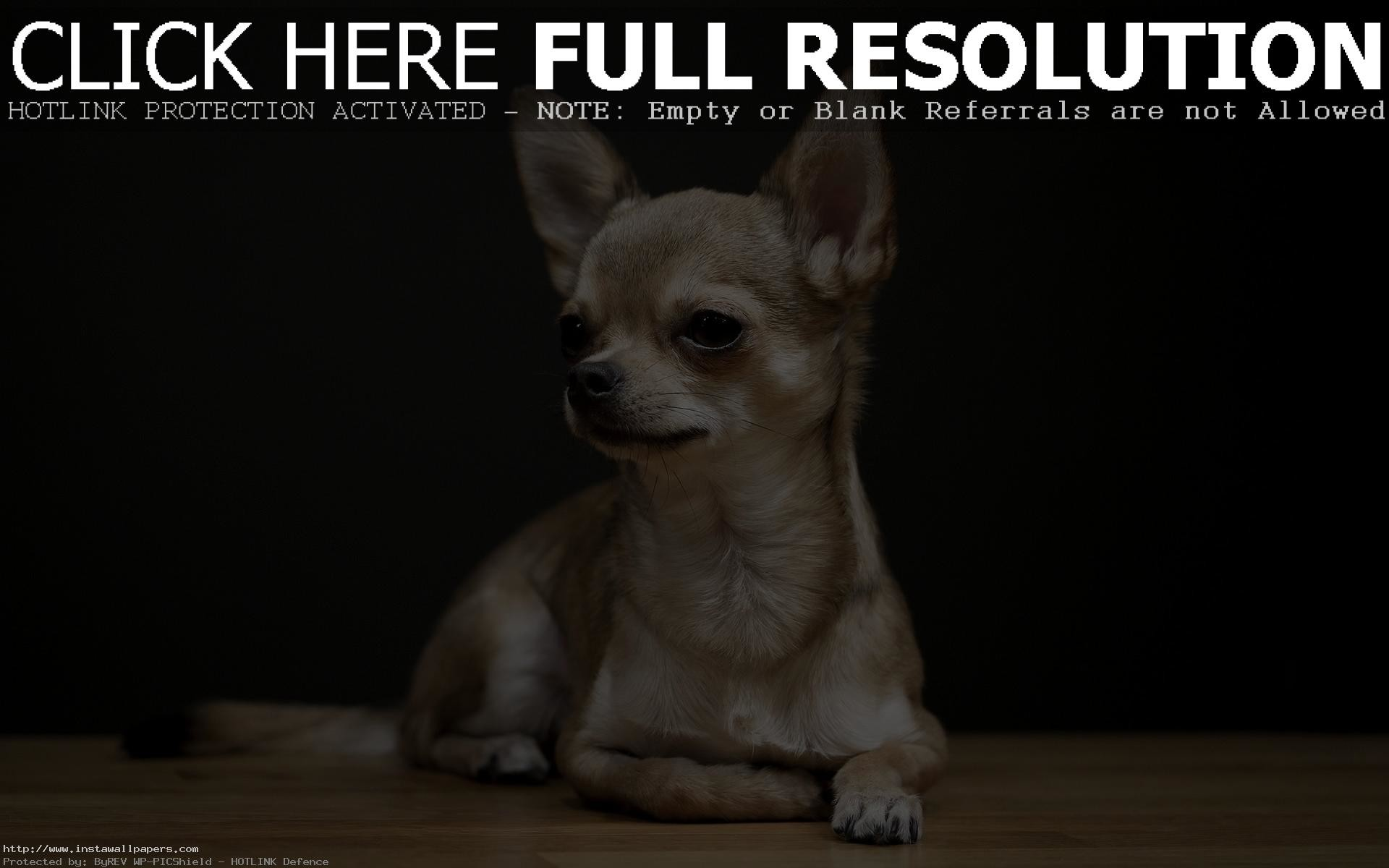 43+ Chihuahua Puppies Wallpaper Desktop