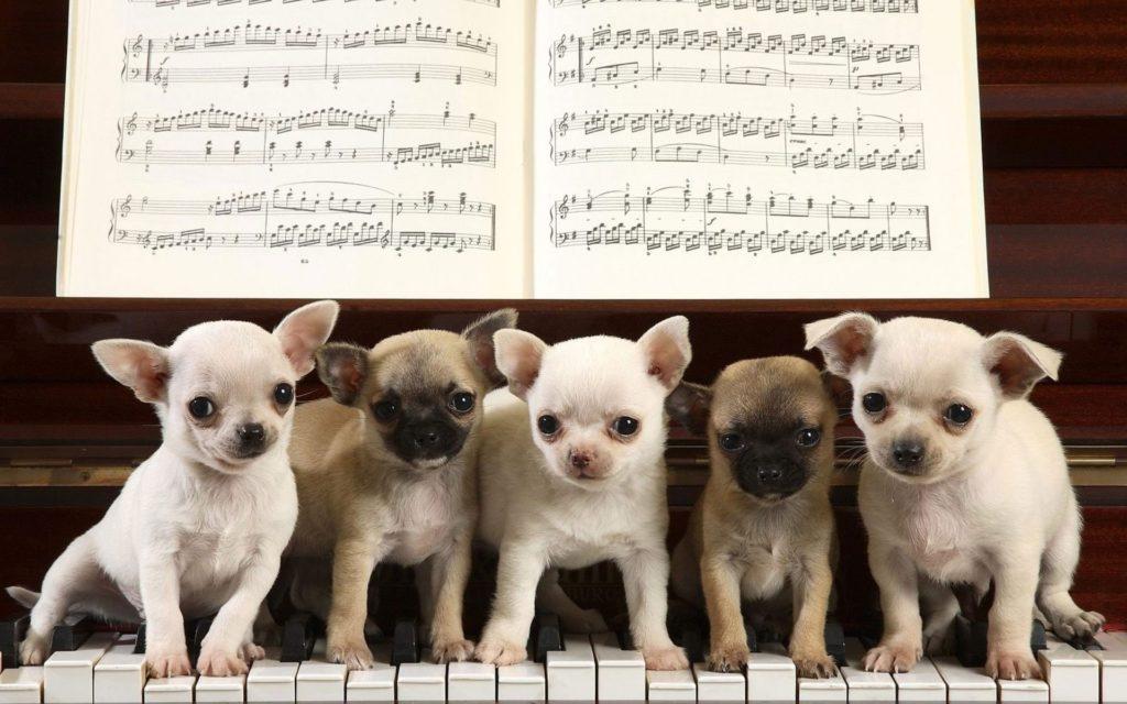 Chihuahua Puppies Wallpaper 382808
