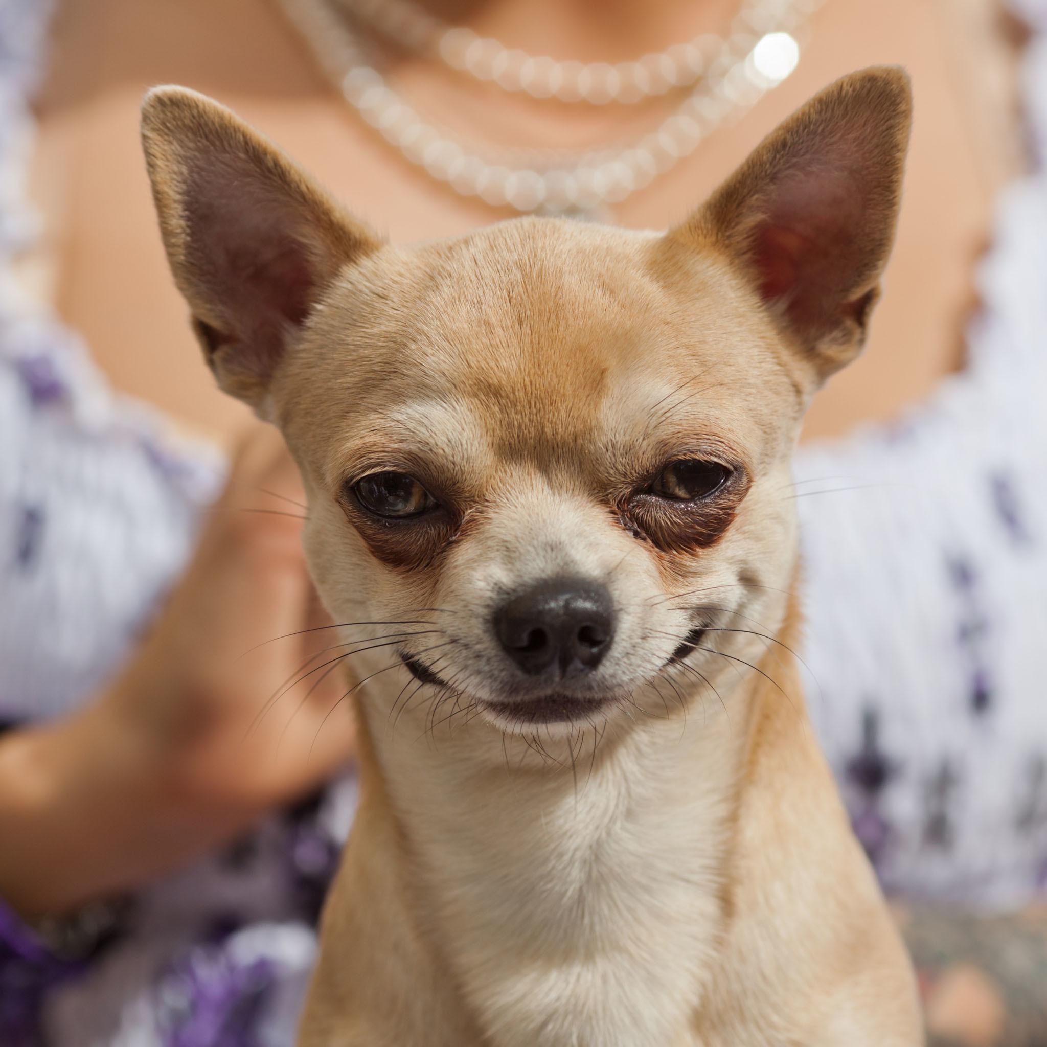 Chihuahua Dog Wallpapers – https://whatstrendingonline.com/chihuahua-dog-