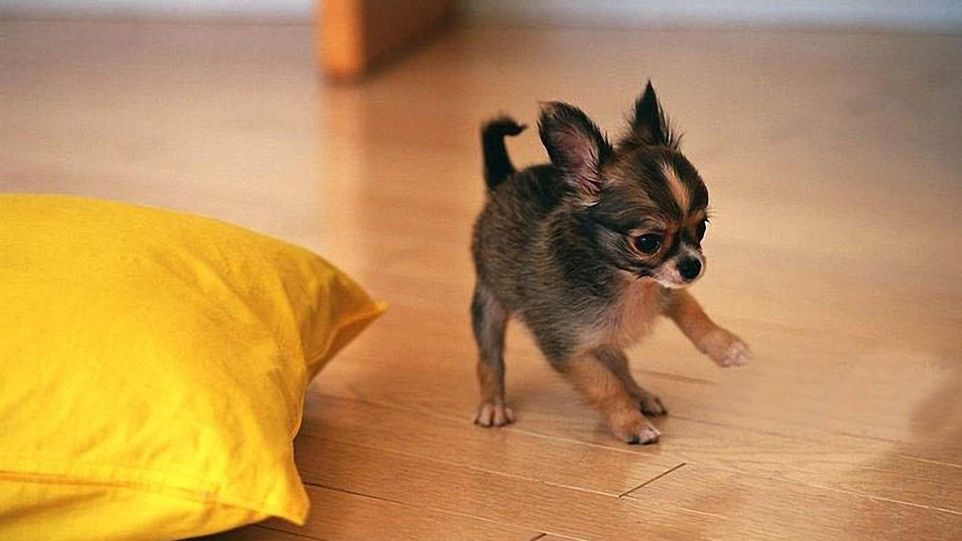Cute Chihuahua Puppy Playing