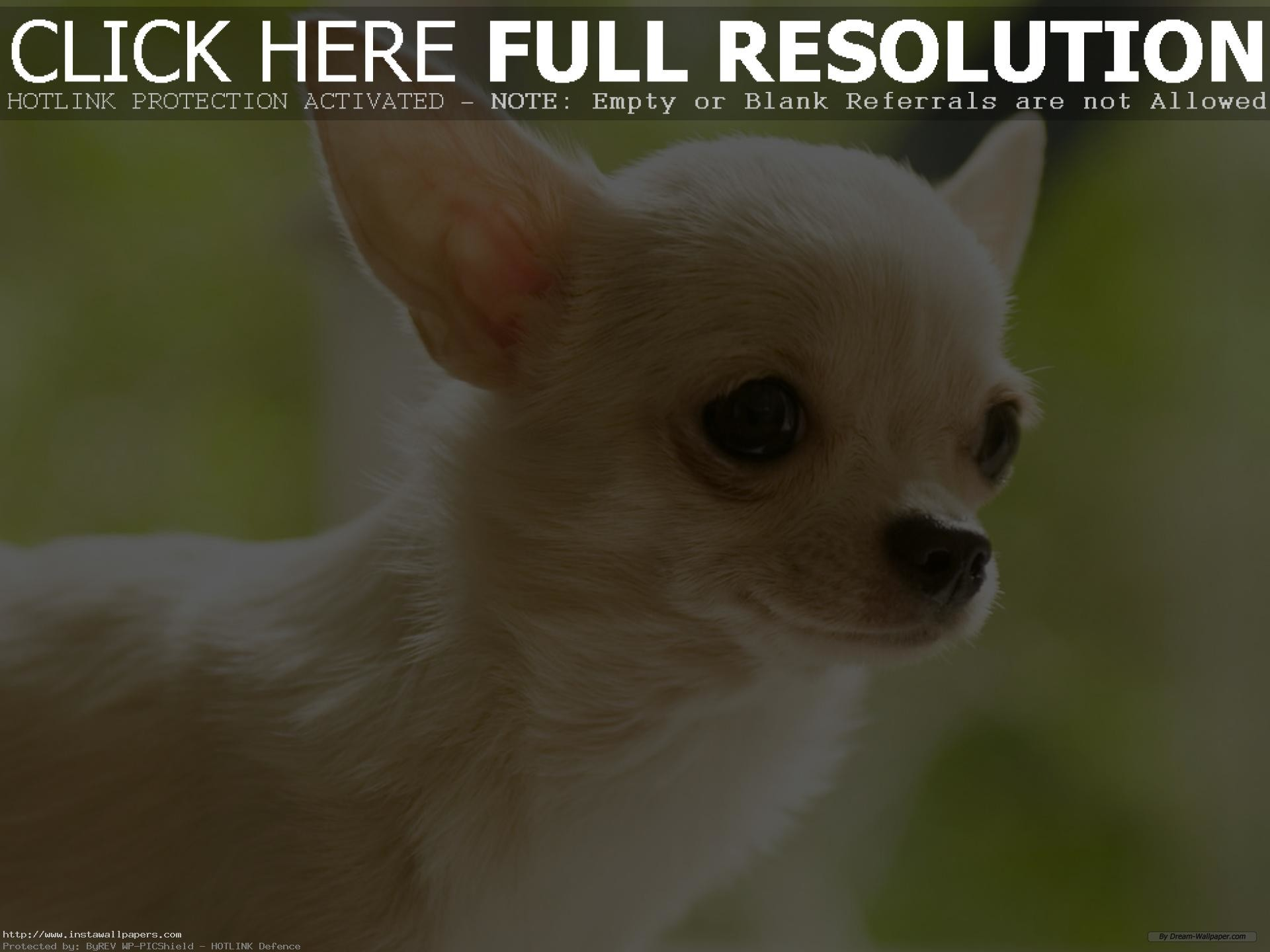 … free chihuahua puppy wallpaper for desktop HD PC Laptop background
