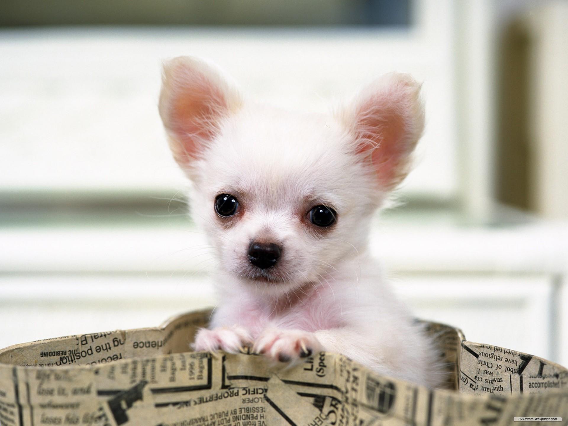 hd chihuahua puppies wallpaper