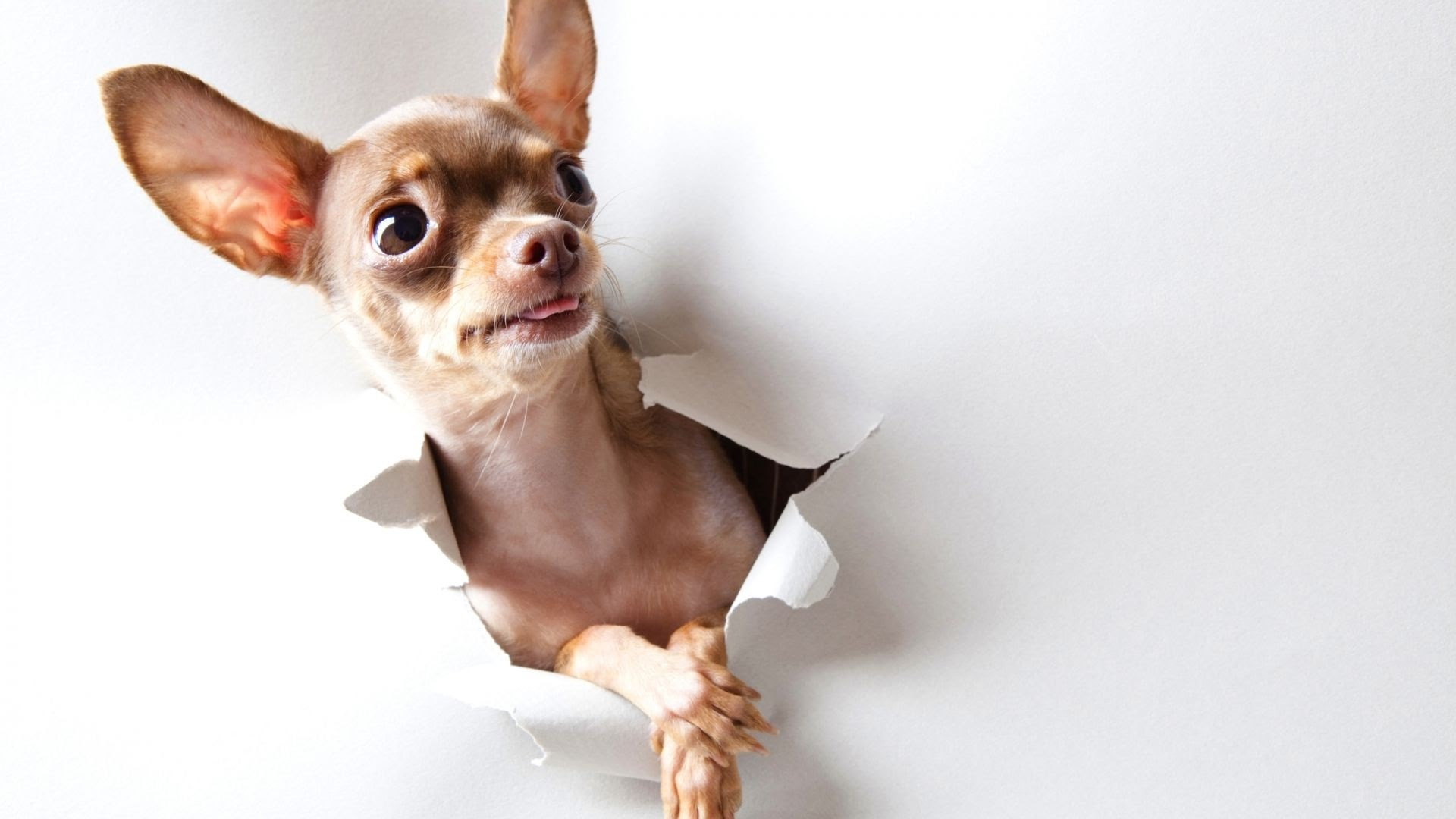 Chihuahua Wallpapers Wallpaper Cave