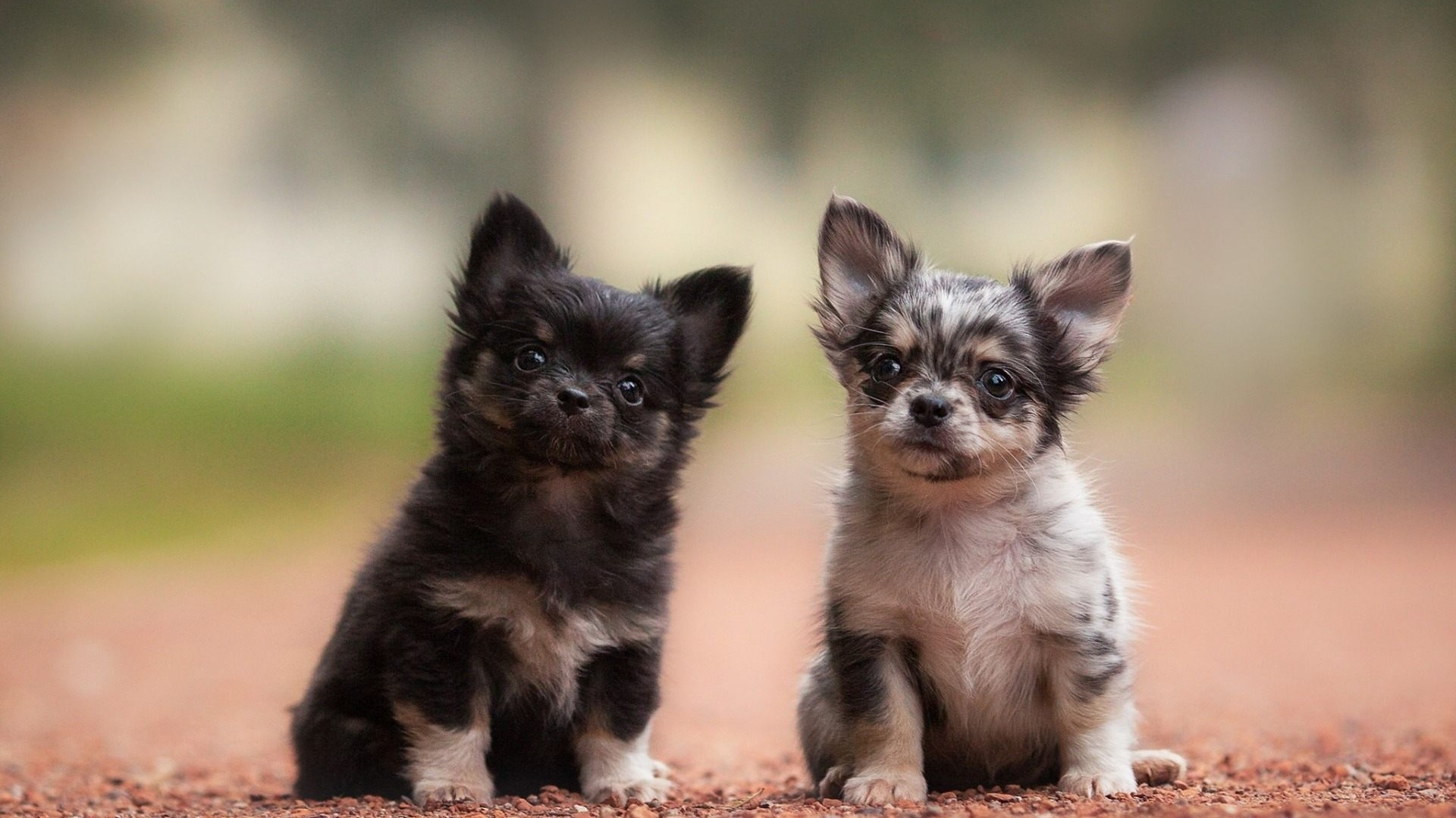 Chihuahuas Cute Puppies Wallpaper