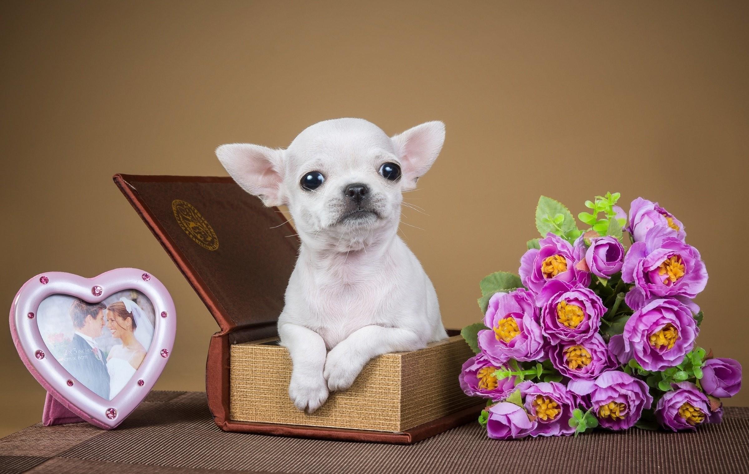 Chihuahua puppy dog flowers jewelry box wallpaper | | 719415 |  WallpaperUP