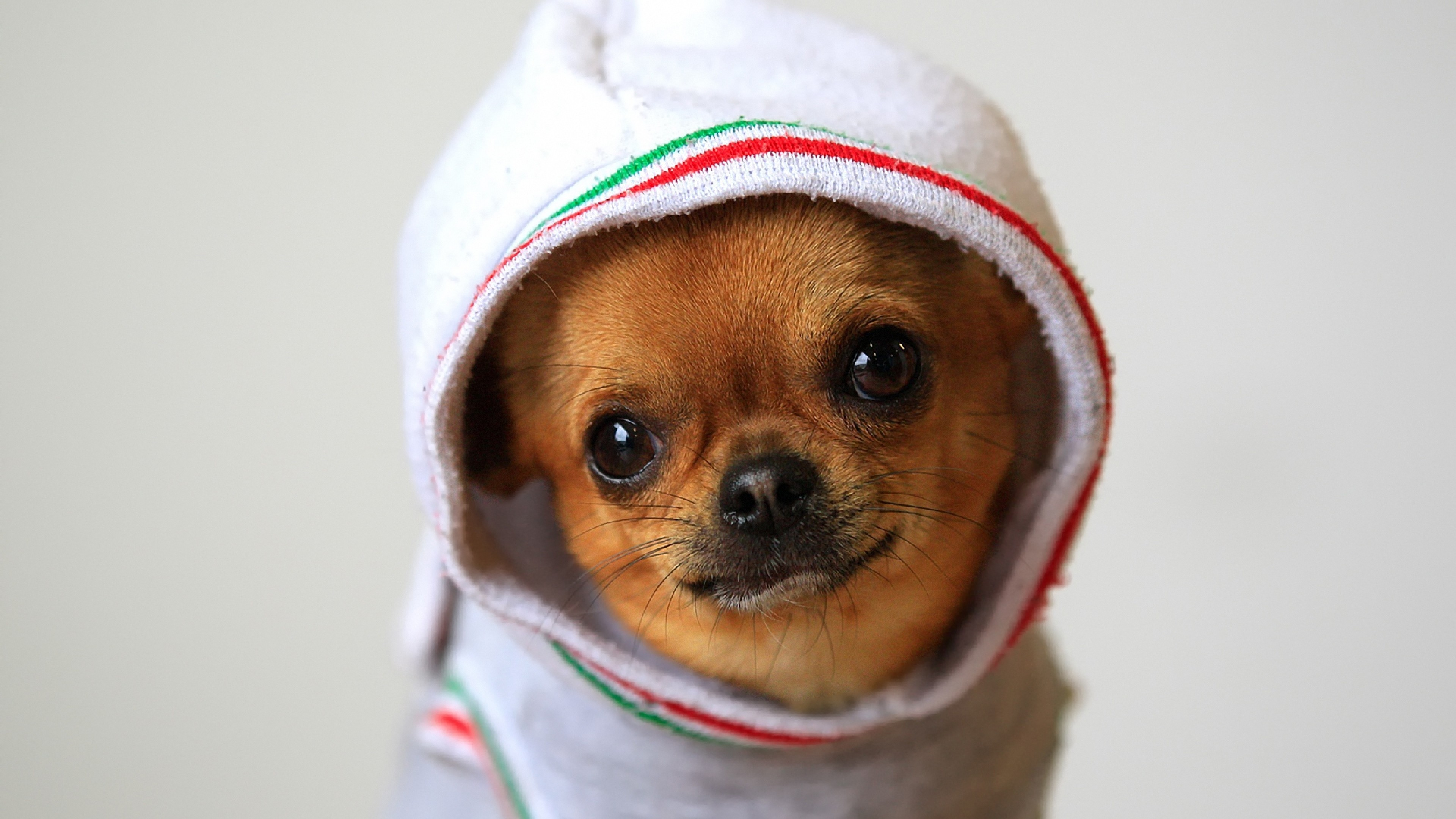Wallpaper dog, chihuahua, puppy, clothing, costume