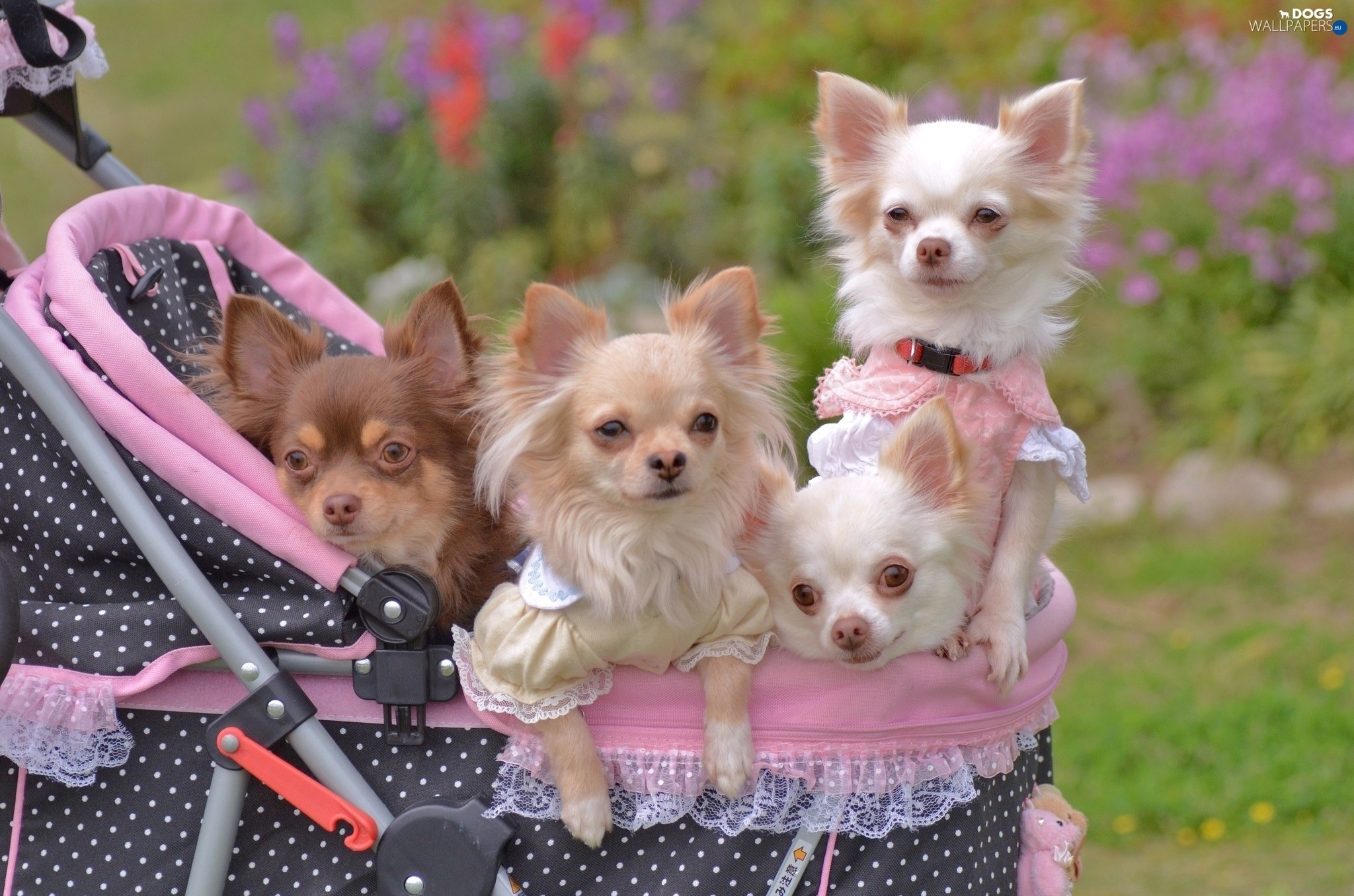 … Chihuahua, four, puppies …