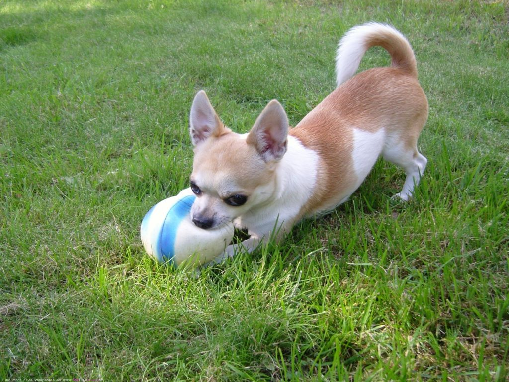 The Free Chihuahua dog Desktop wallpaper pictures online for PC .