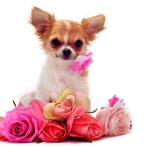 Chihuahua Puppies Wallpaper Desktop