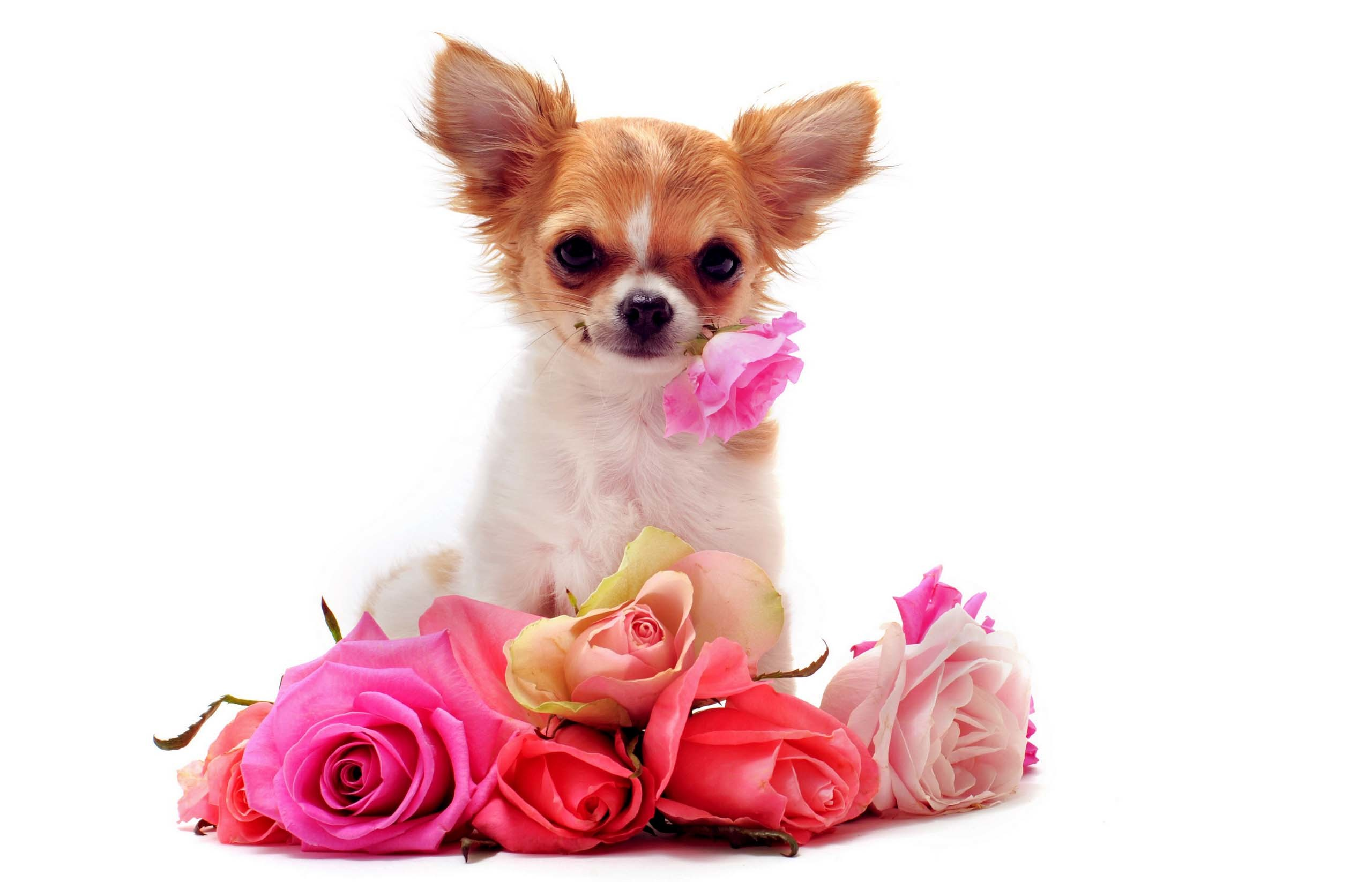 Filename: Chihuahua-dog-free-wallpaper.jpg