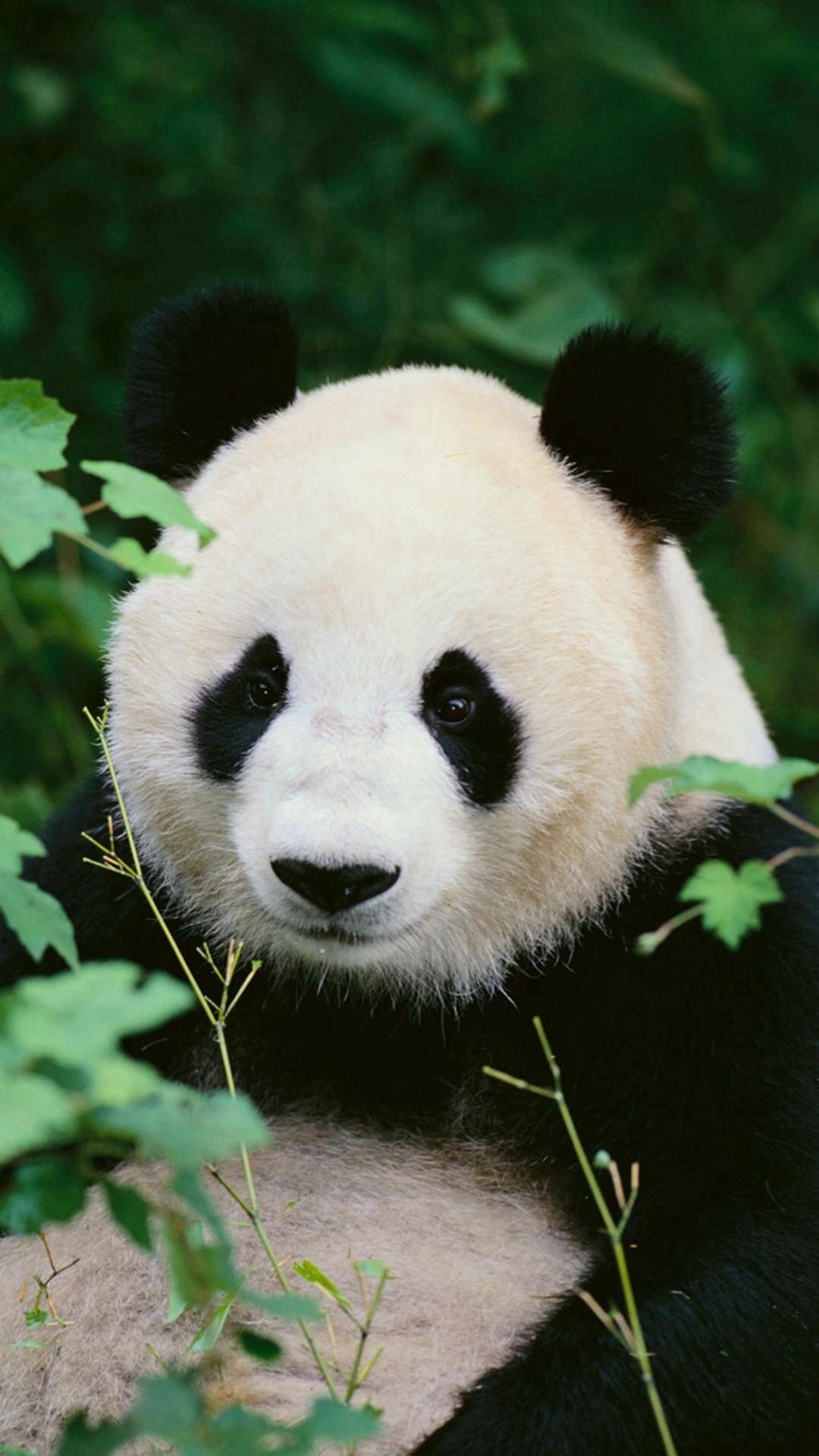 Panda Woods Nature iPhone 6 wallpaper