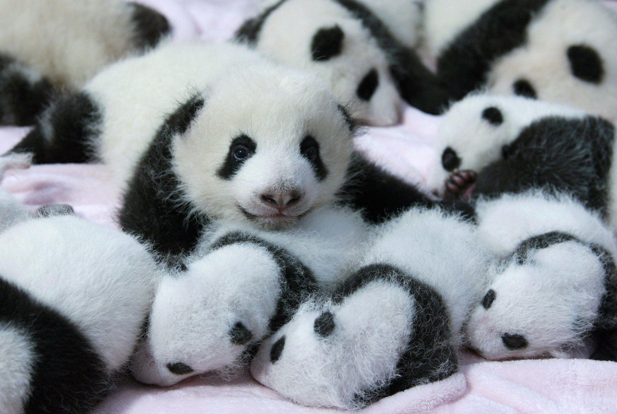 Panda Pandas Baer Bears Baby Cute Iphone Wallpaper #24045 – The HD .