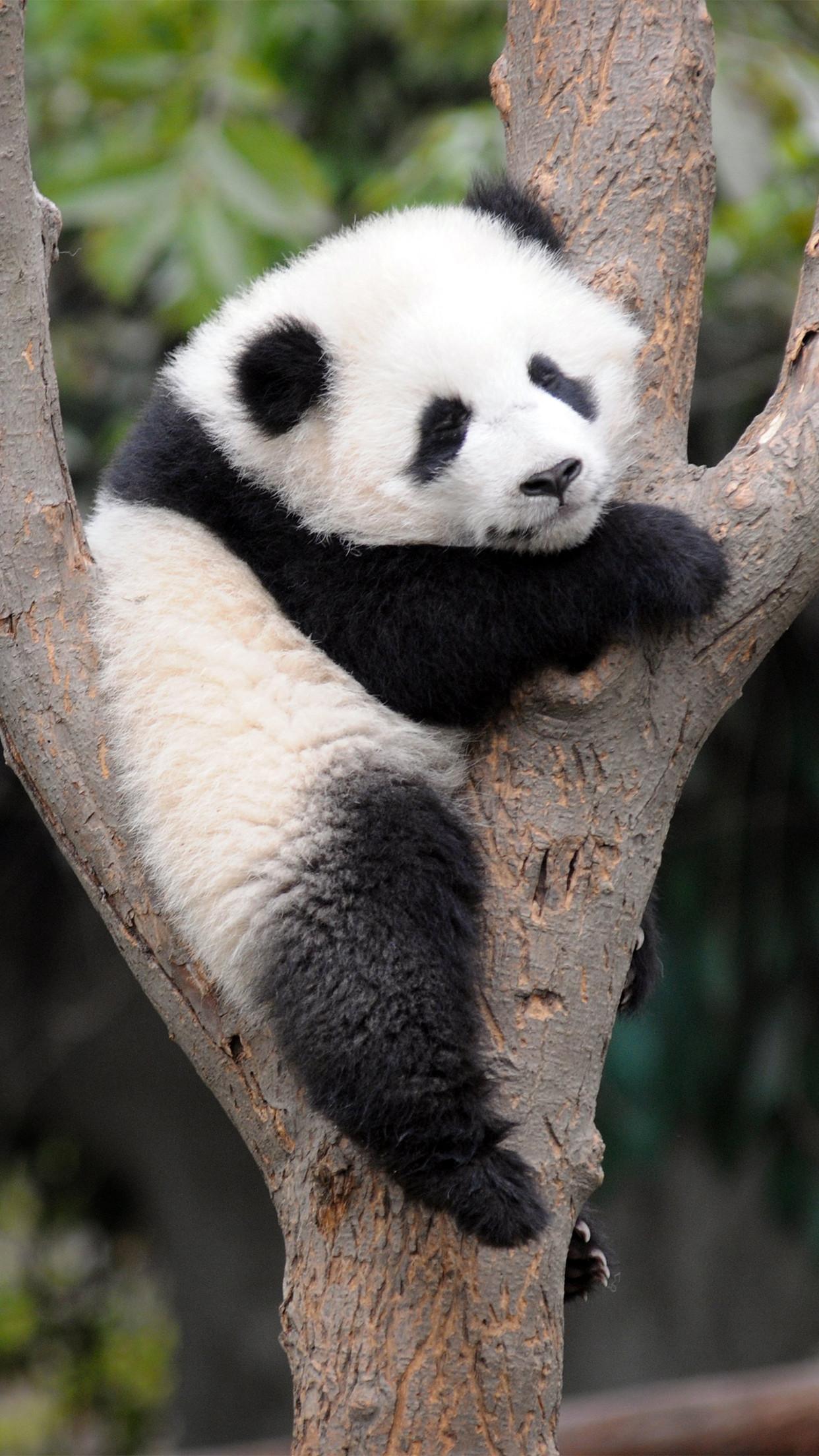 Panda-sleeping-3Wallpapers-iPhone-Parallax