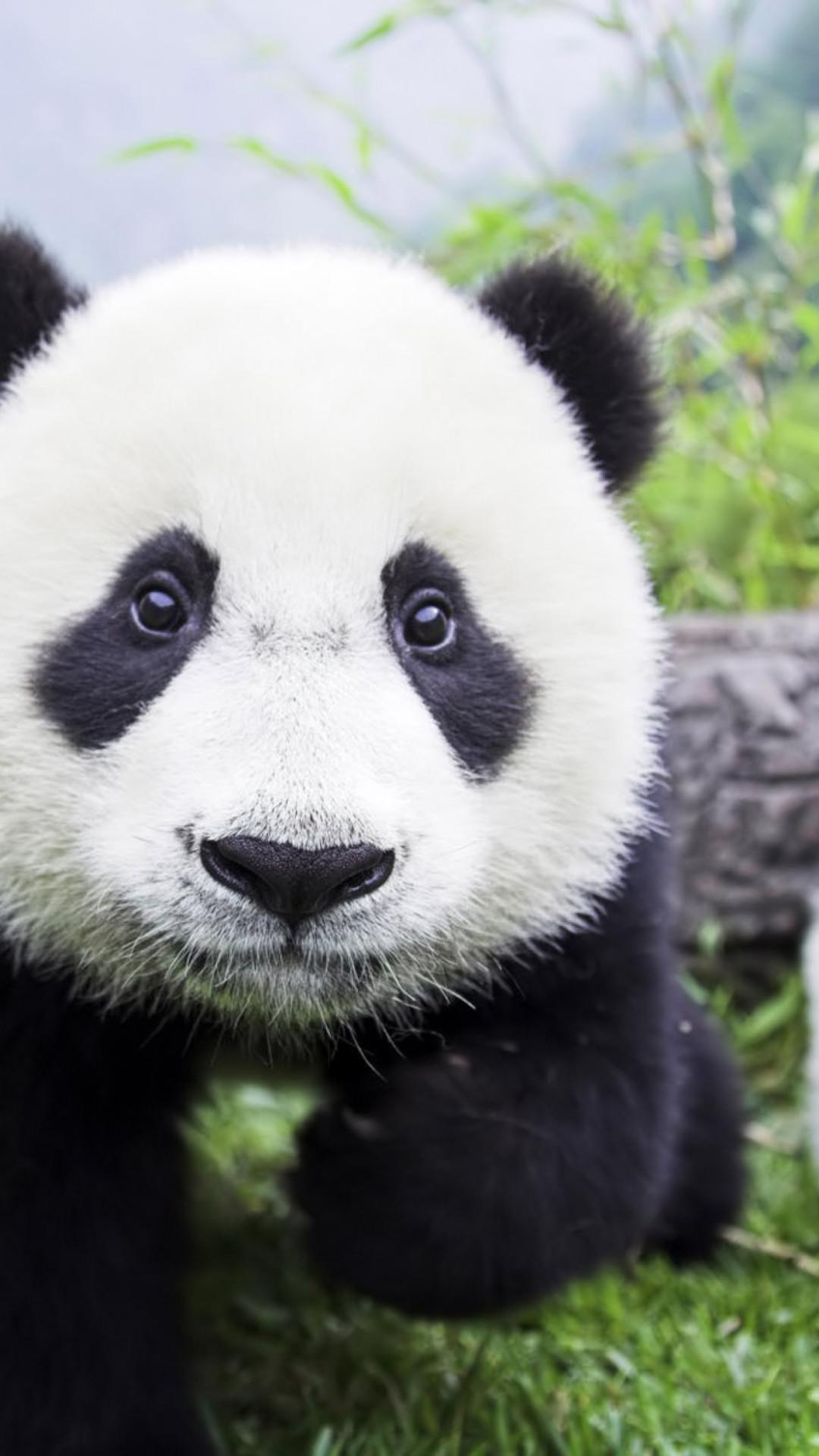 Giant Panda Closeup Iphone Wallpaper Hd