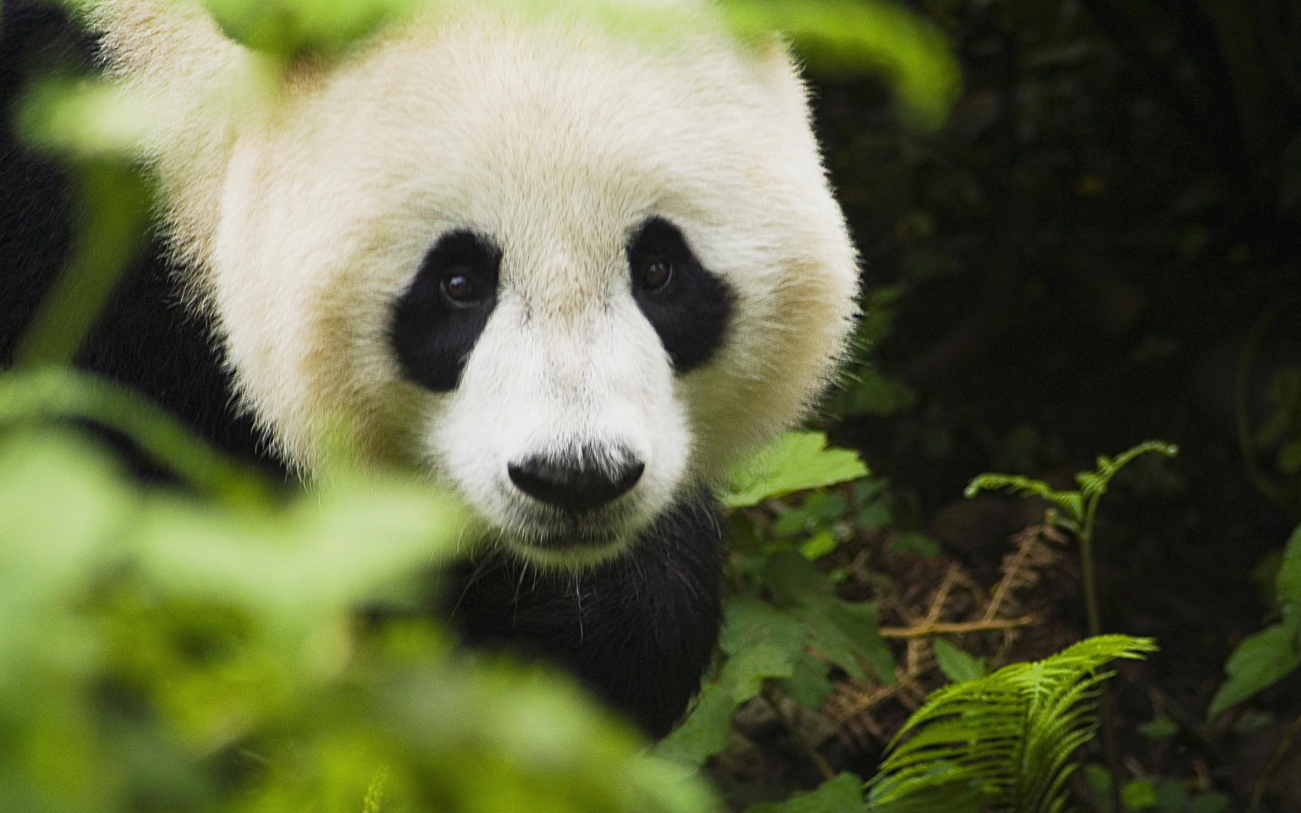 Cute Panda Face Wallpaper IPhone Wallpaper | WallpaperLepi