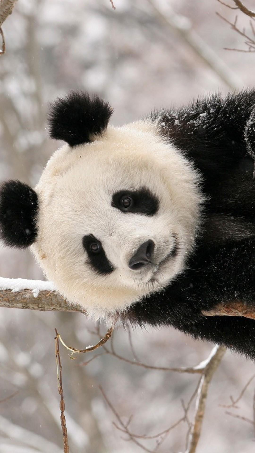 Wallpaper panda, branch, sit, snow