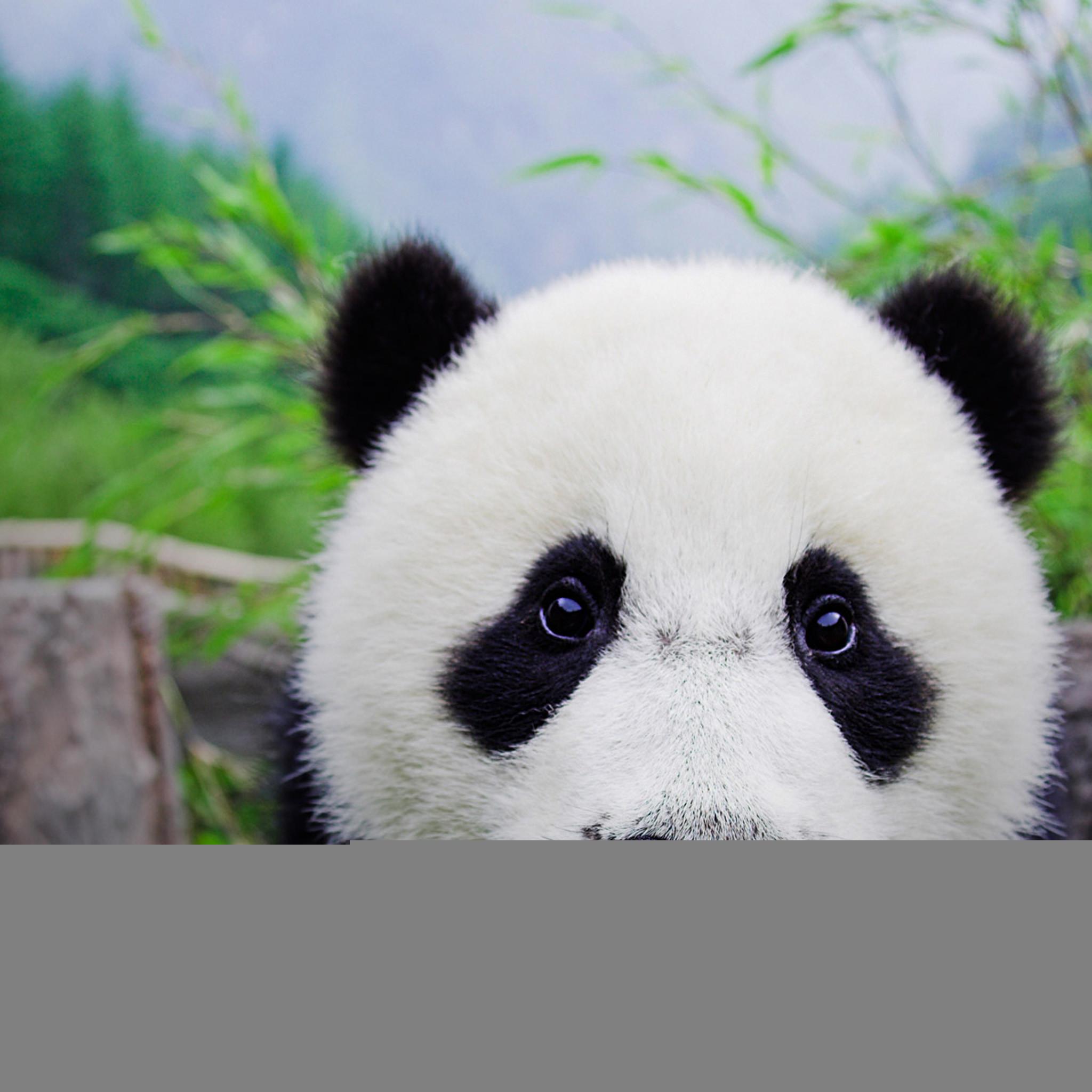 4990 5: Panda iPad wallpaper