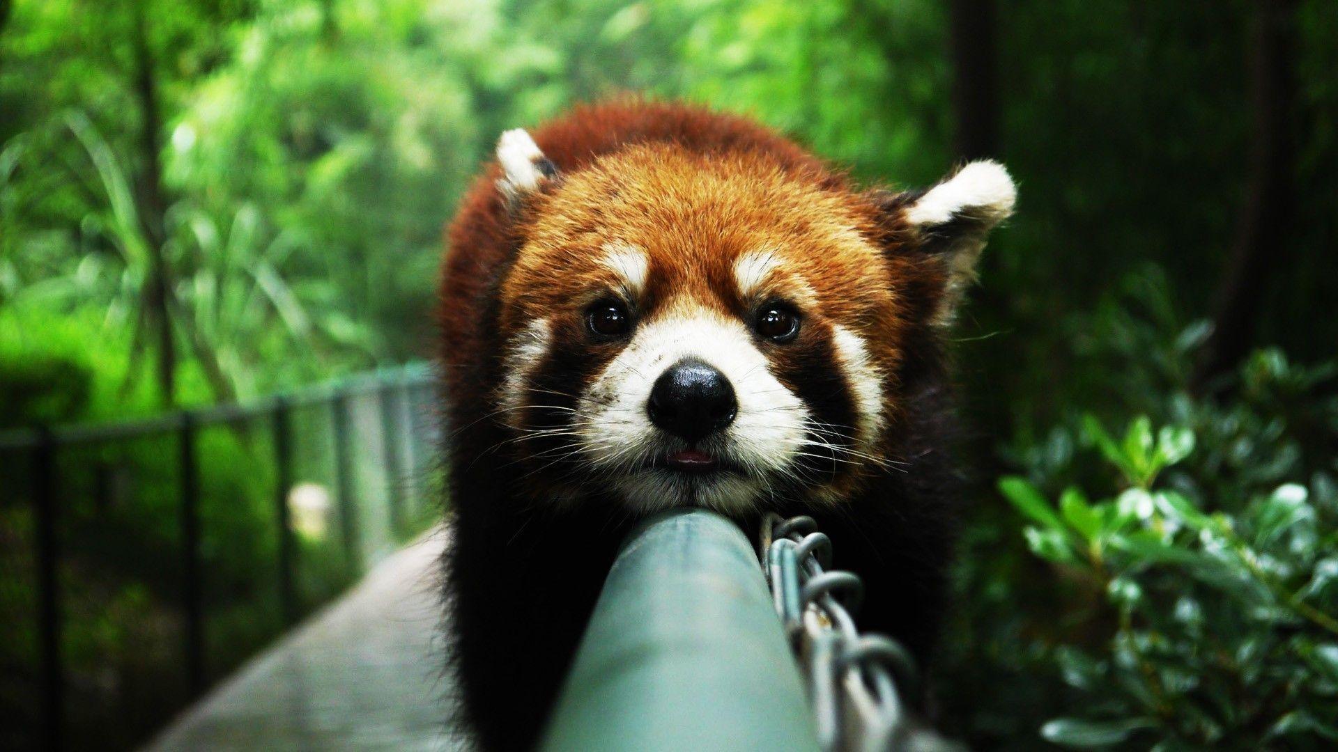 <b>Red panda</b> | Free iPhone 4 <b>