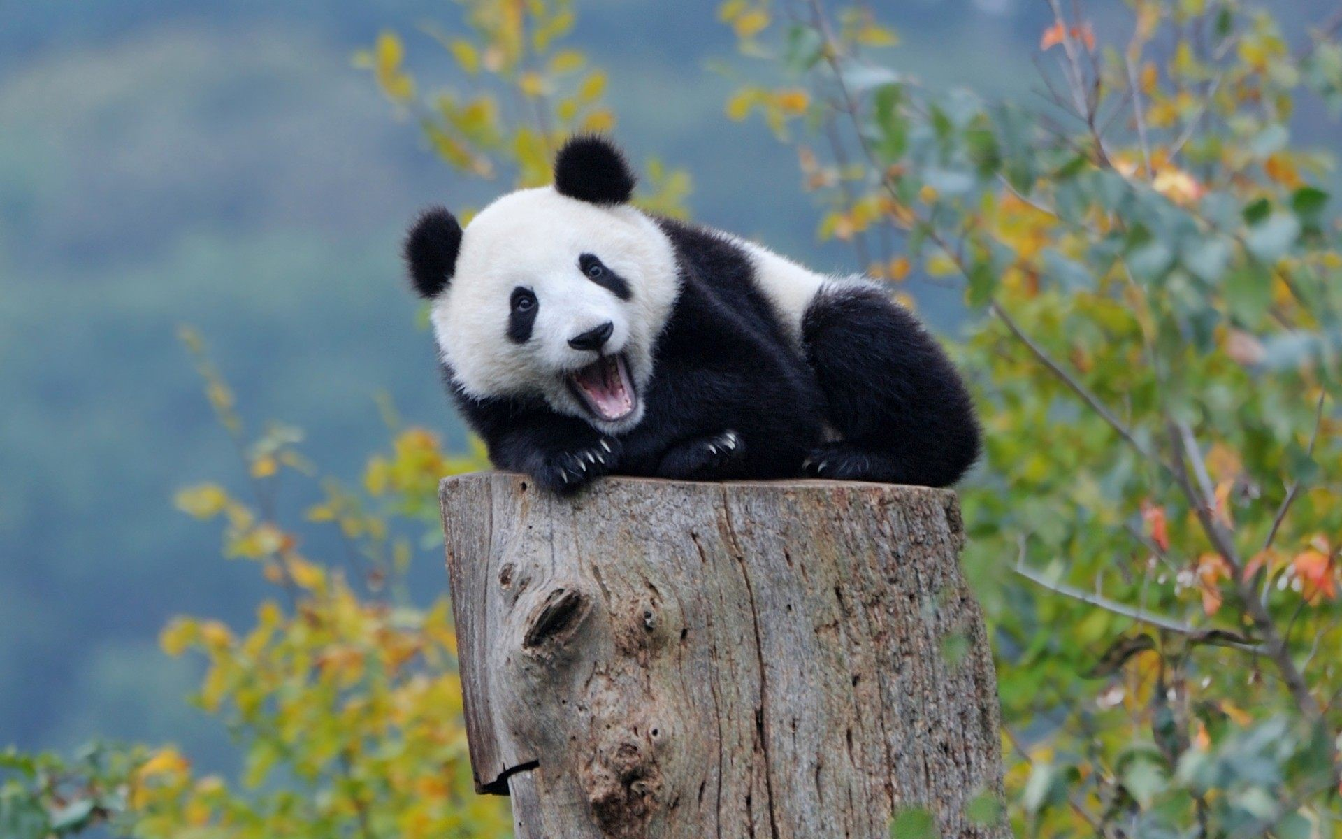 Cute Panda Wallpaper Collection For Free Download