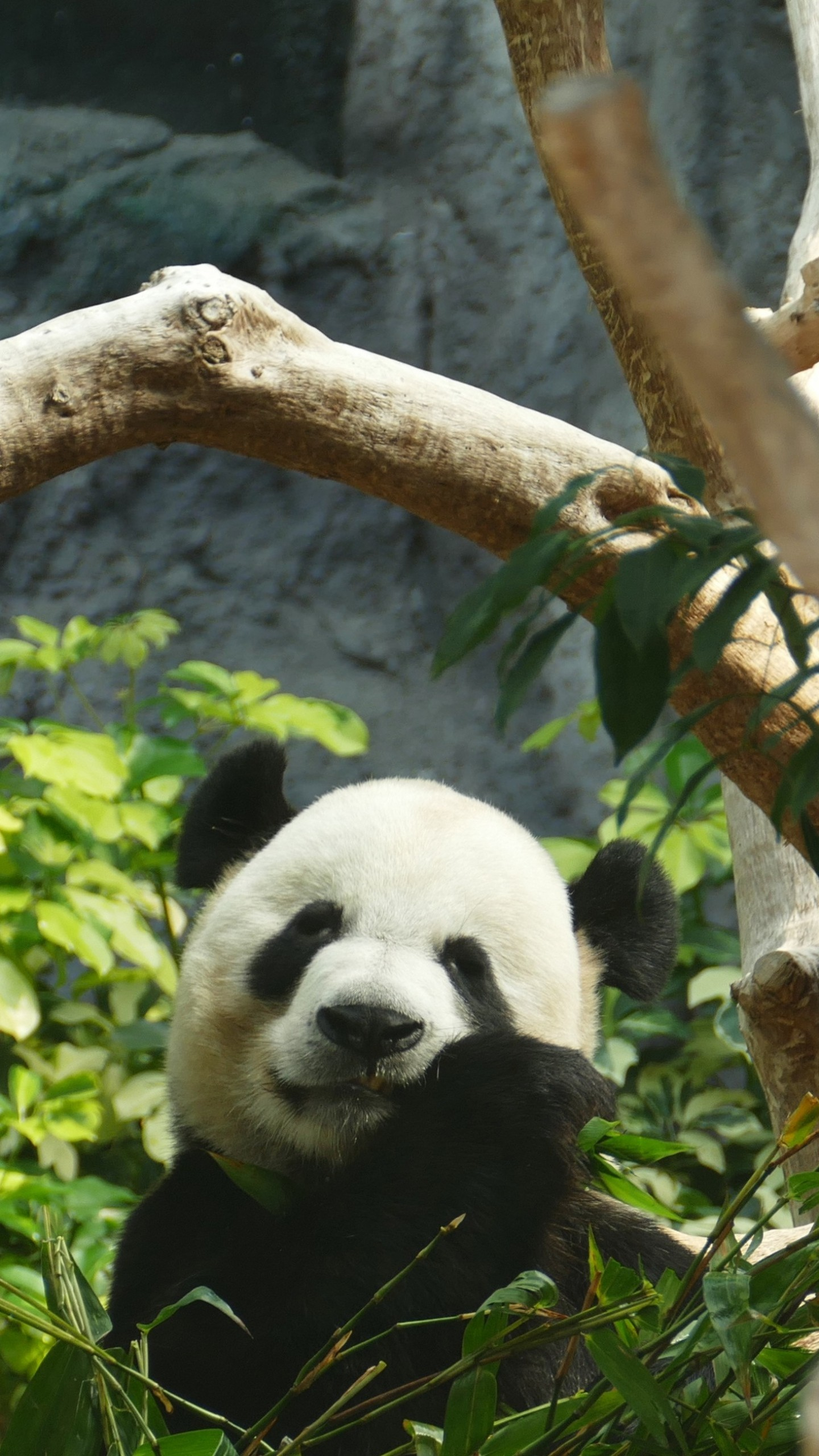 Preview wallpaper panda, bamboo, wood 1440×2560