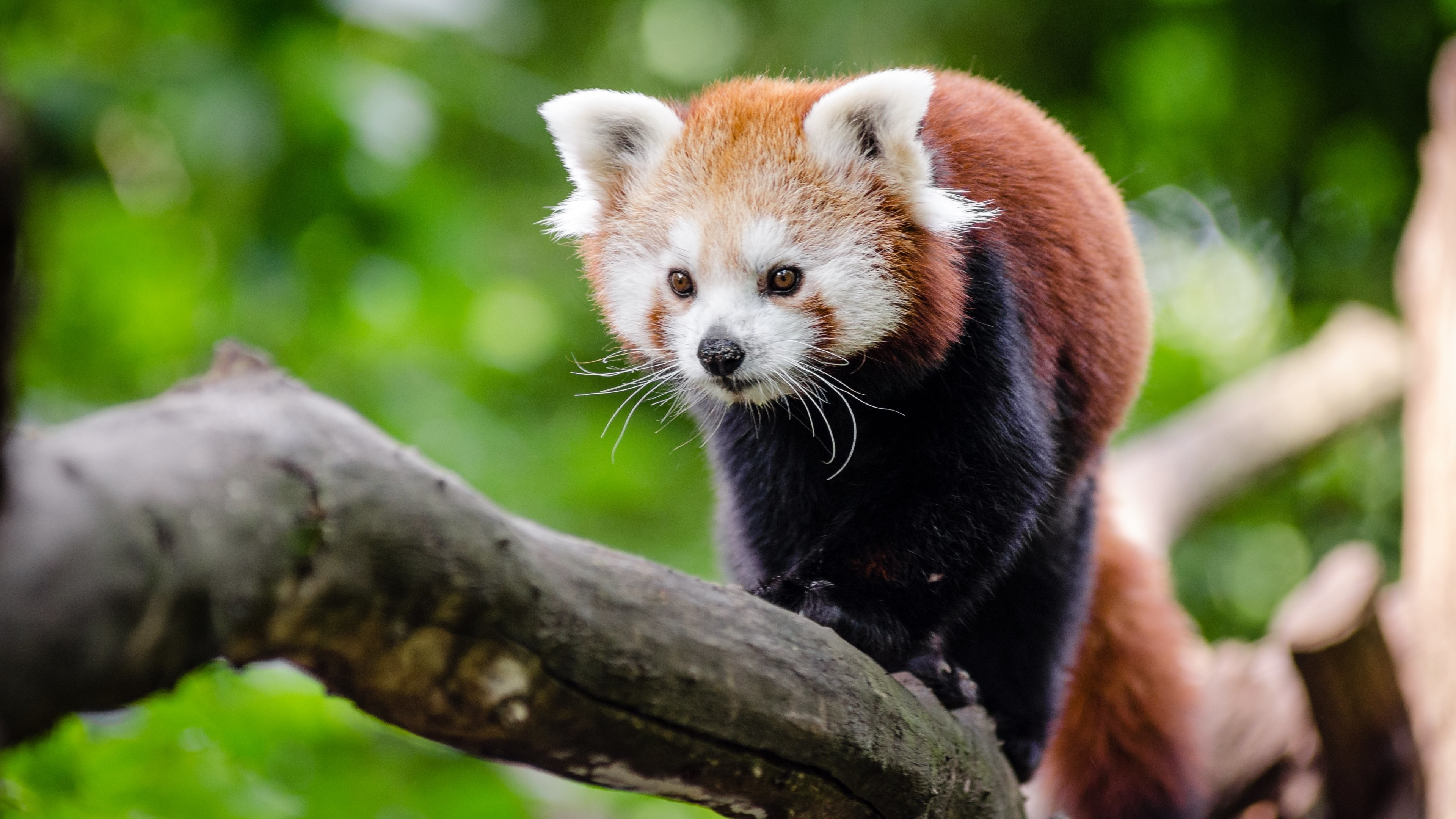 HTC, Samsung Galaxy & iPhone: 1080×1920 (compatible with many phones).  Wallpaper 2: Red Panda