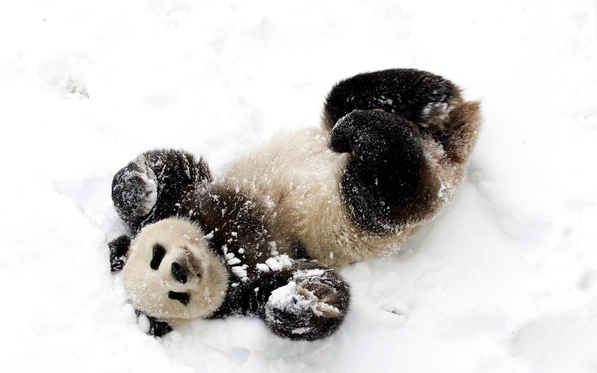 Panda Cubs in Snow