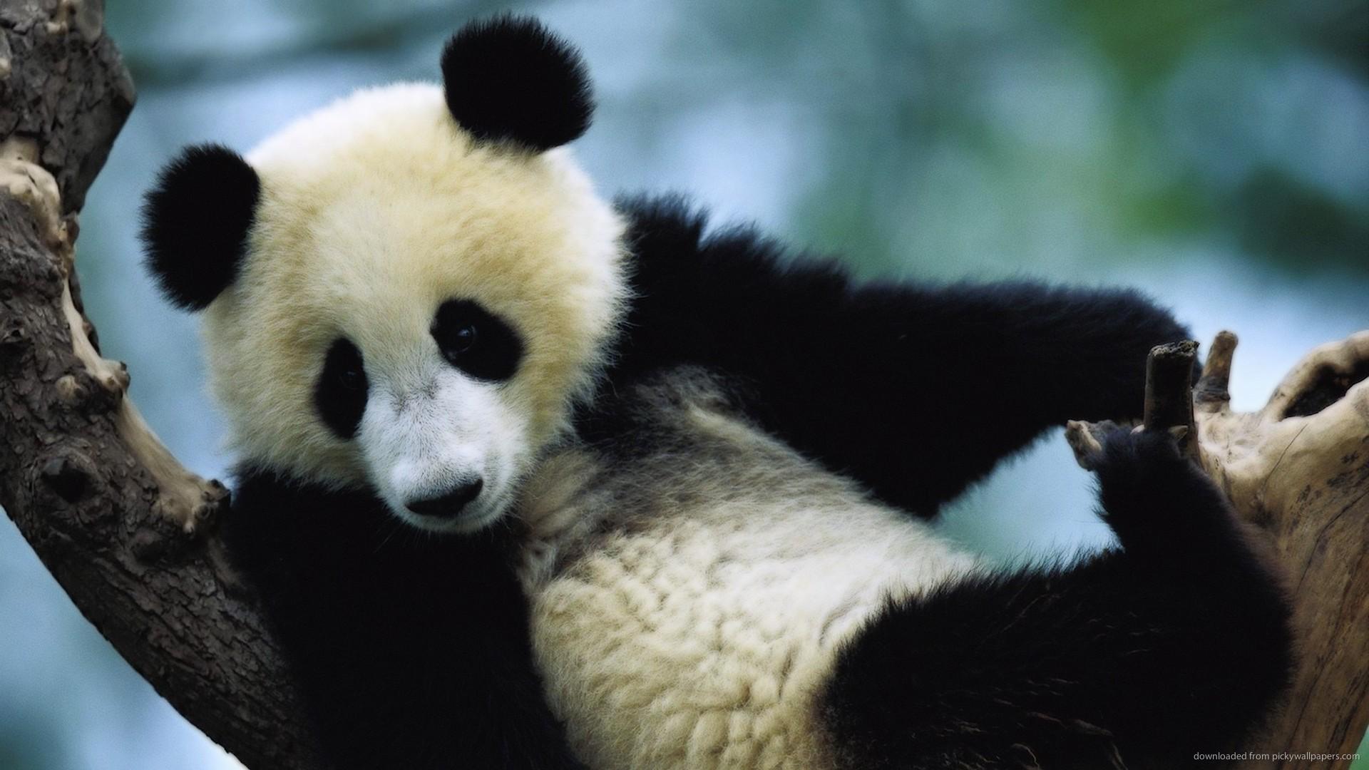 Little Panda Bear On A Tree picture