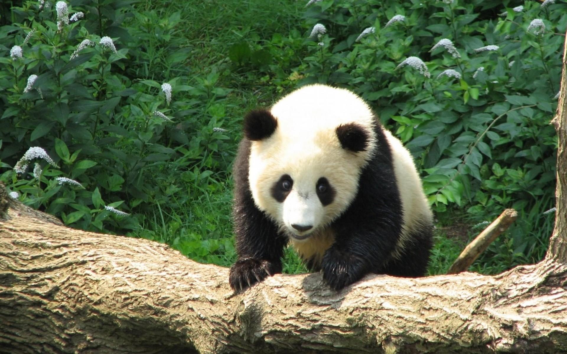 … Panda Wallpaper Panda Wallpaper