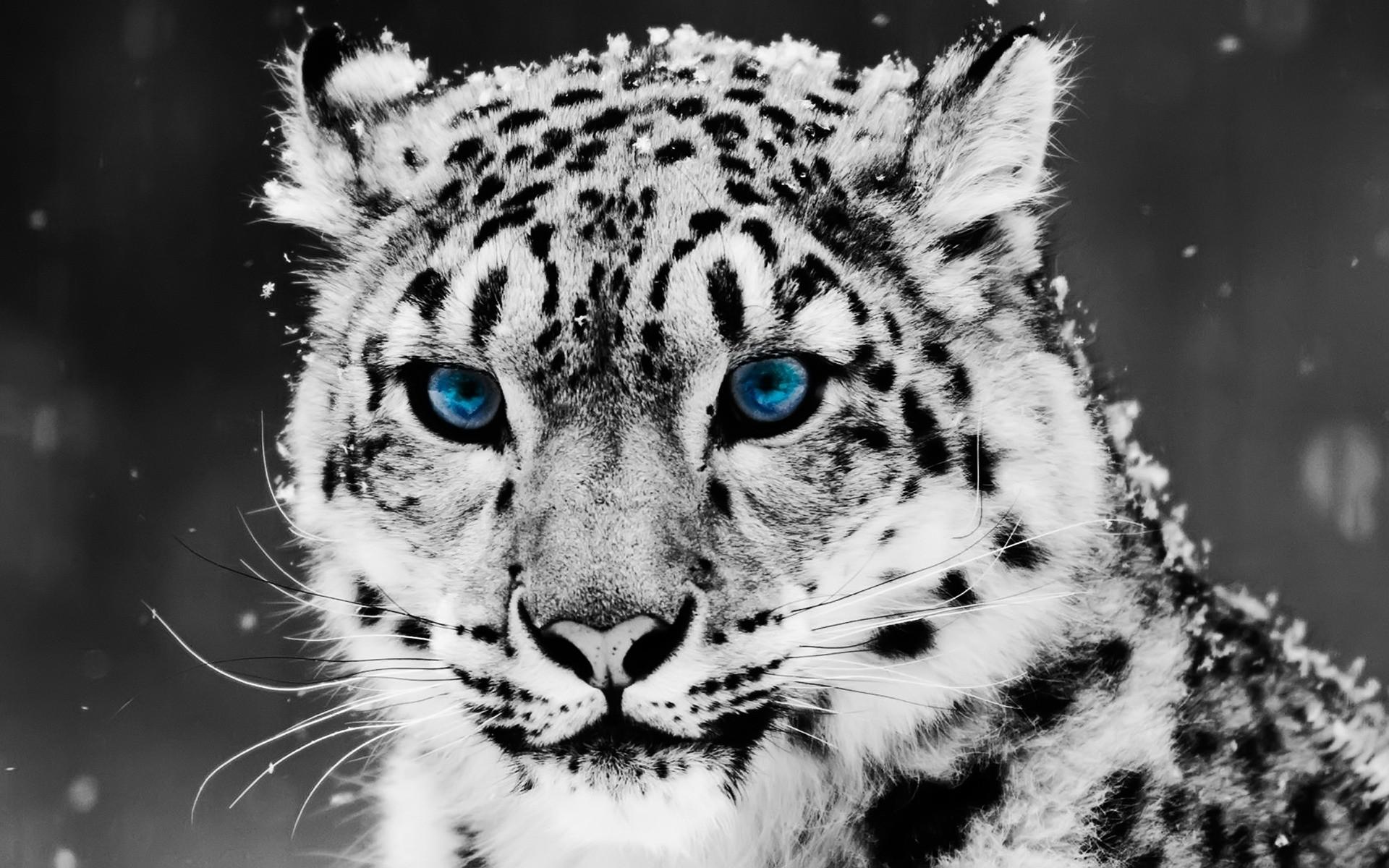 Snow Leopard Wallpaper Big Cats Animals