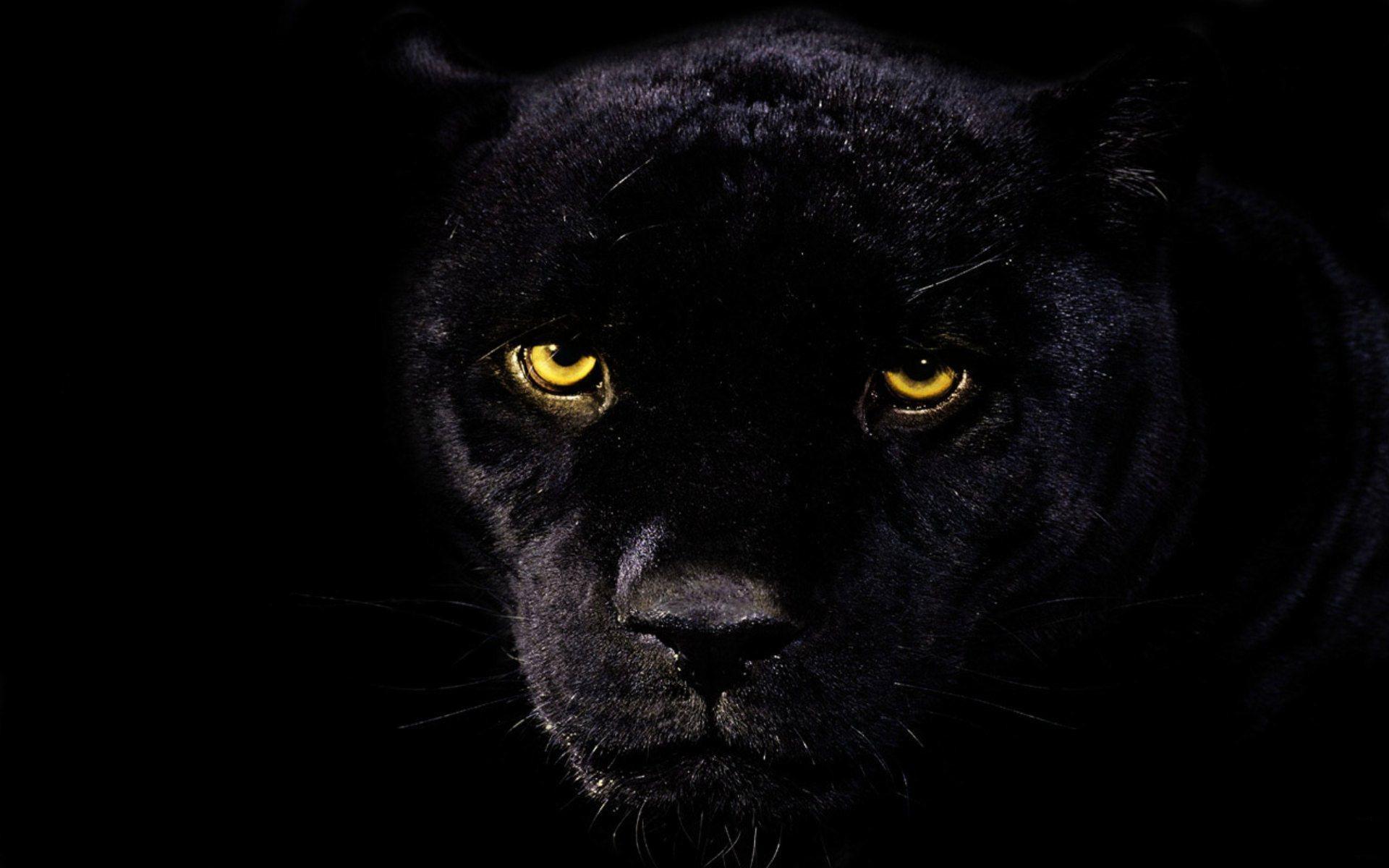 Black Leopard Wallpaper HD