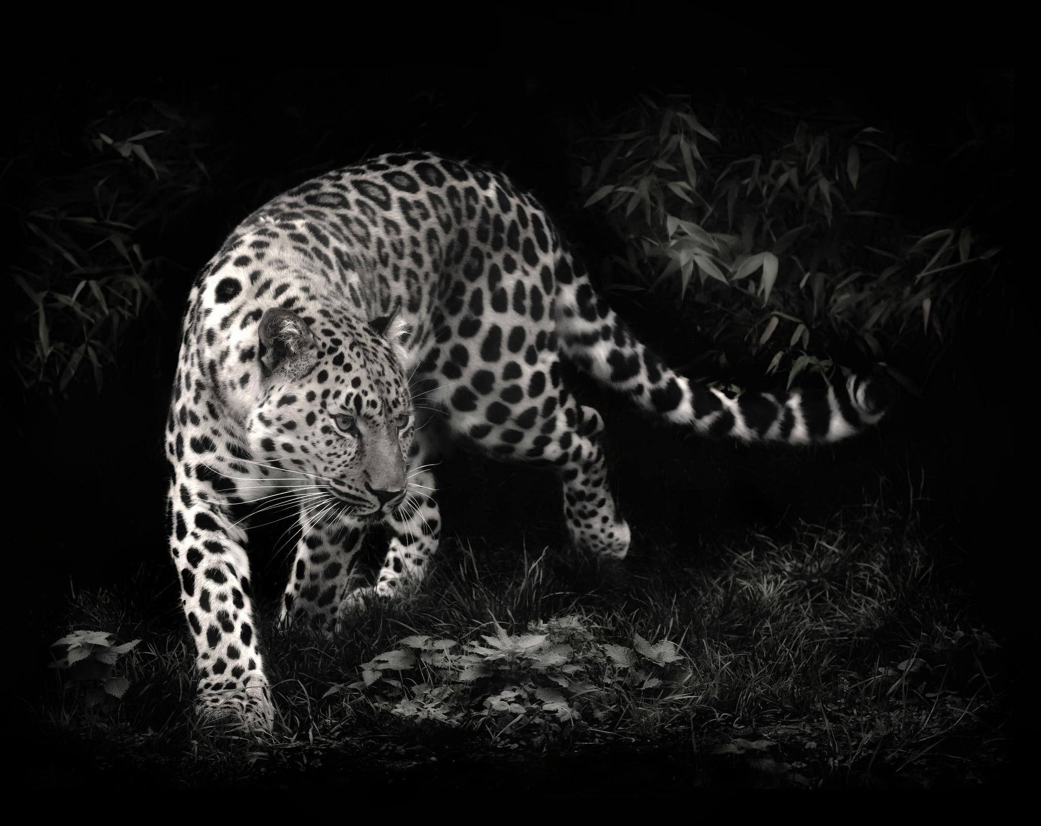 Black leopard wallpaper – photo#11