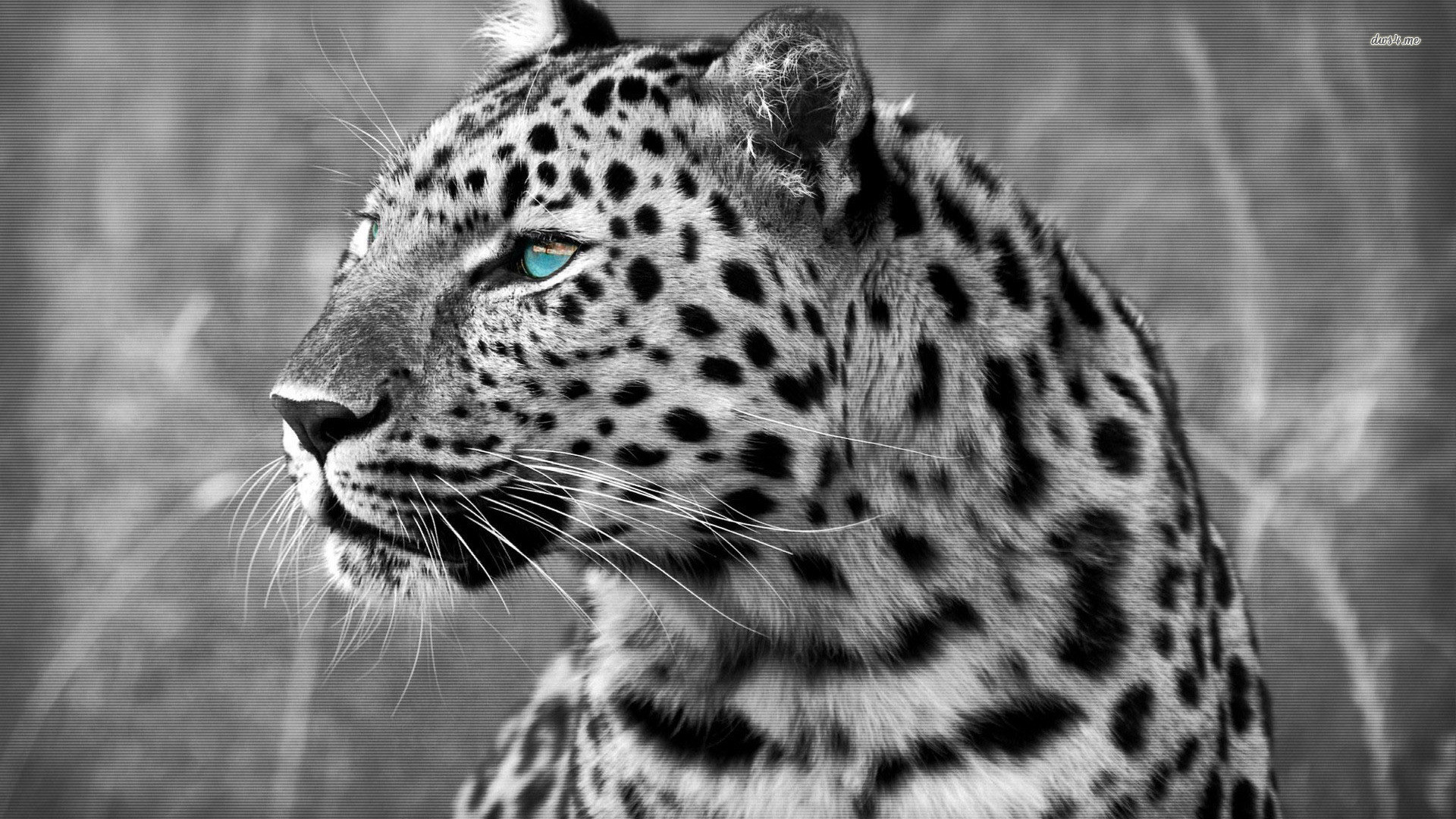 Snow Leopard Wallpaper Android Apps on Google Play 1280×720 Snow Leopard  Wallpaper (43