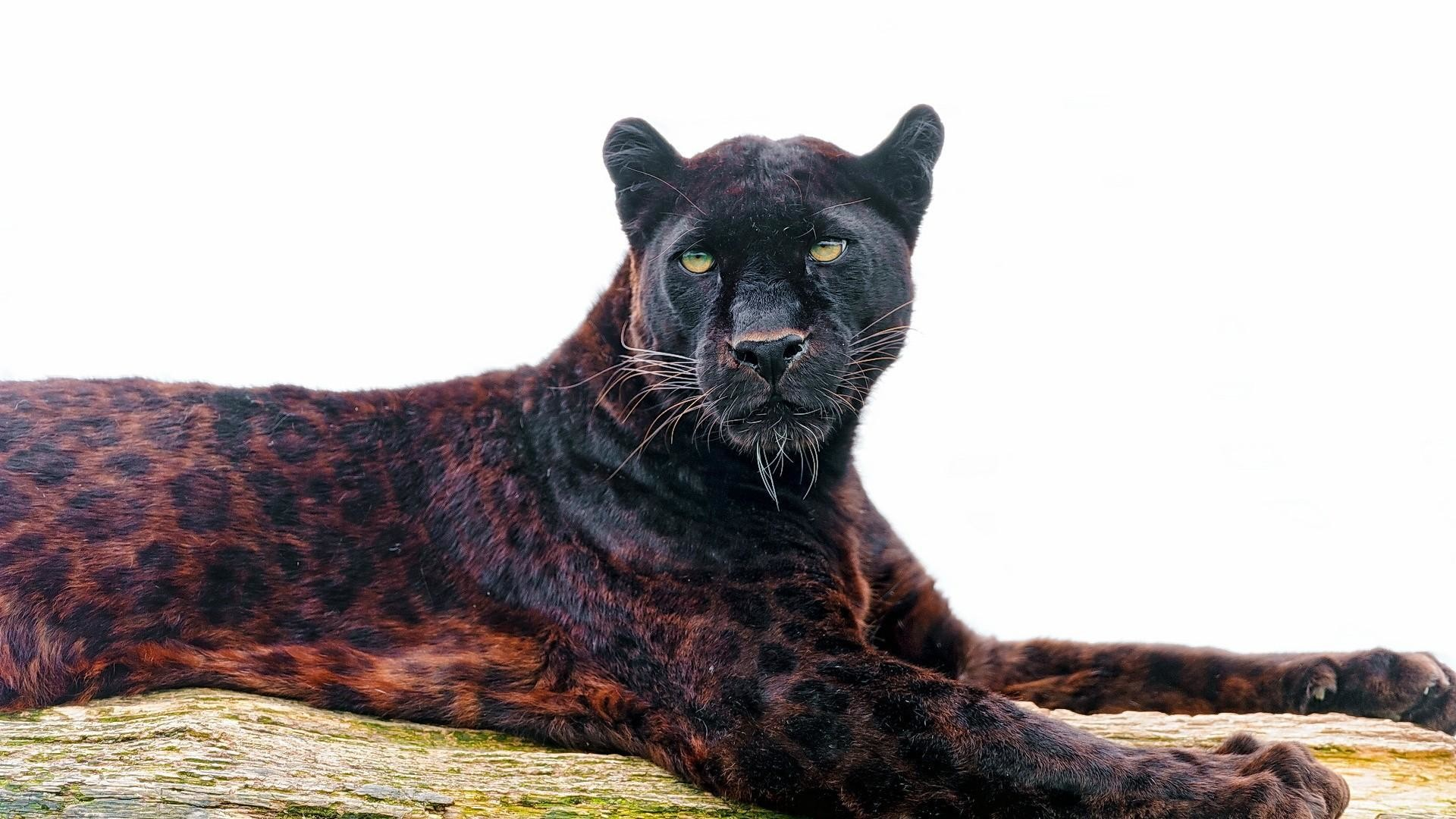 Gorgeous Black Leopard
