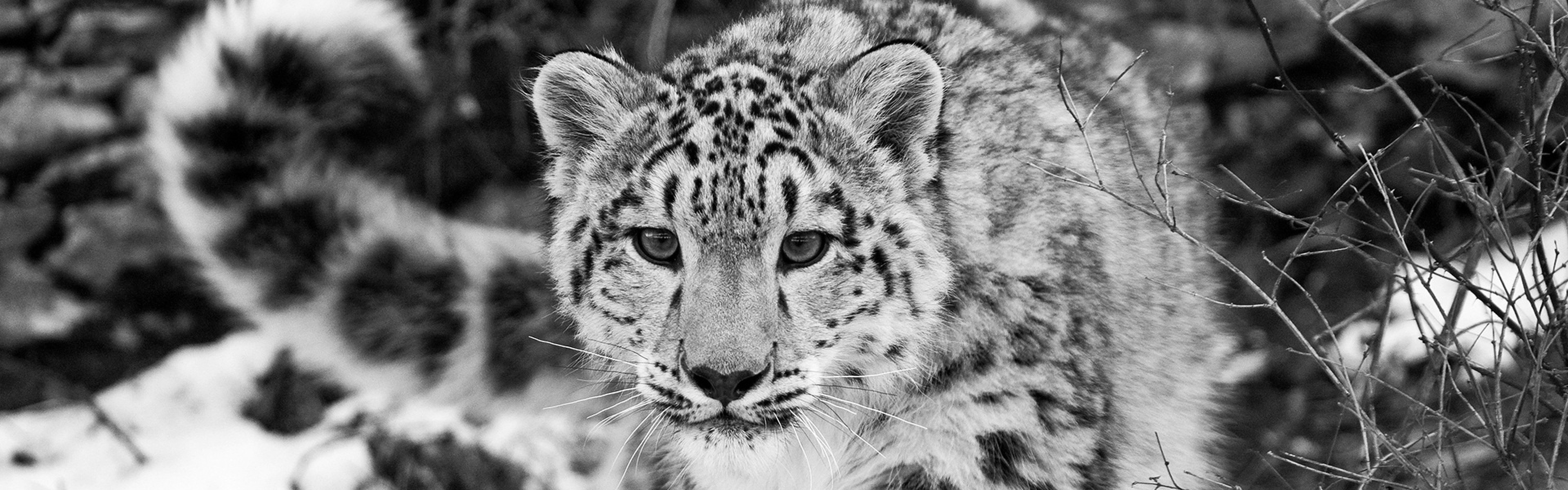 Preview wallpaper snow leopard, snow, hunting, attention, black and white  3840×1200