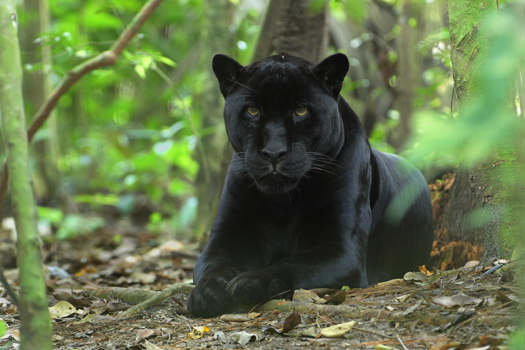 Black Leopard – Android – Black Leopard Most popular Black Leopard Wallpaper  A high quality Most Beautiful Black Leopard Wallpaper APP. Most Black  Leopard.