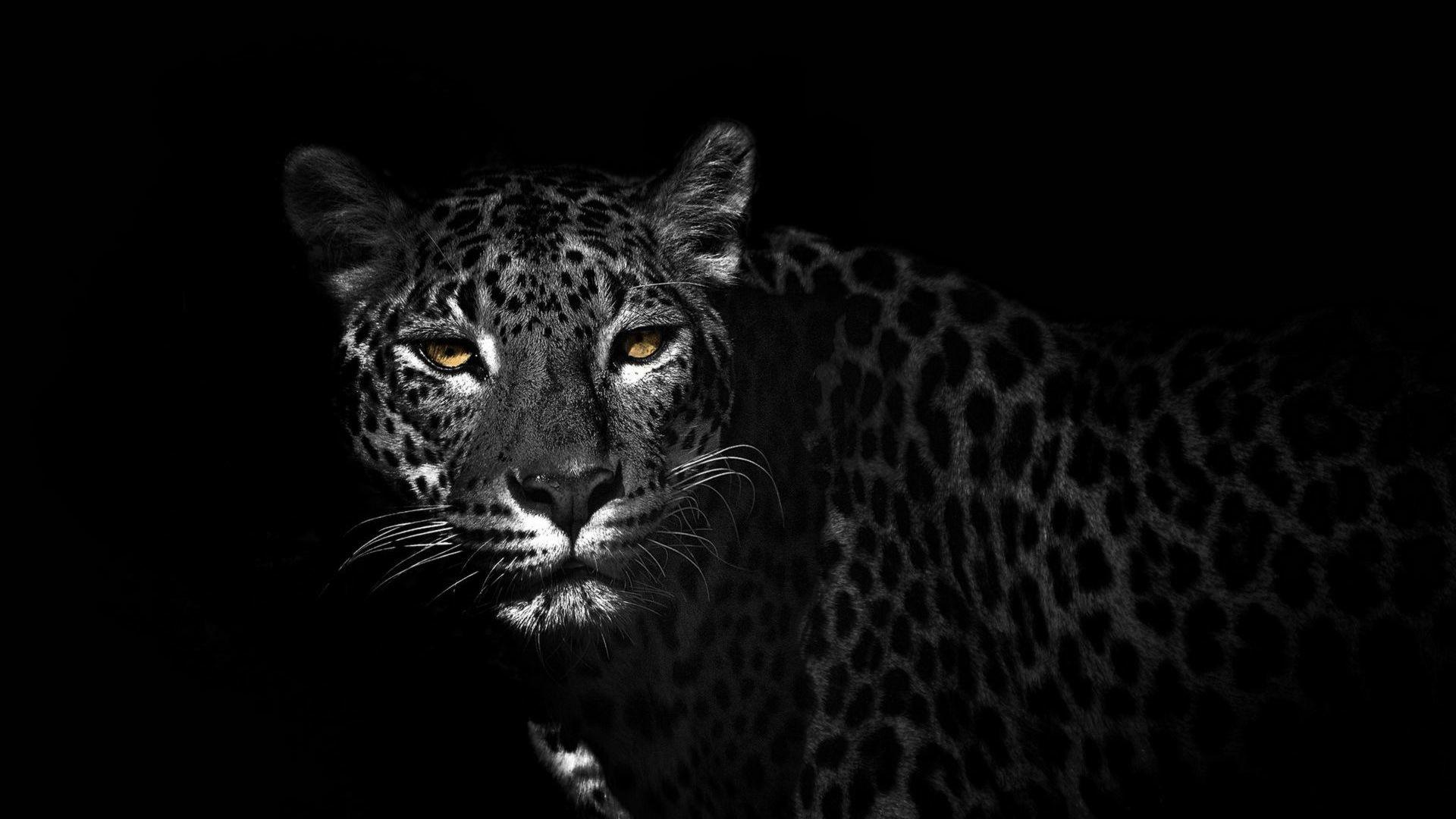 Leopard HD Wallpaper Leopard …