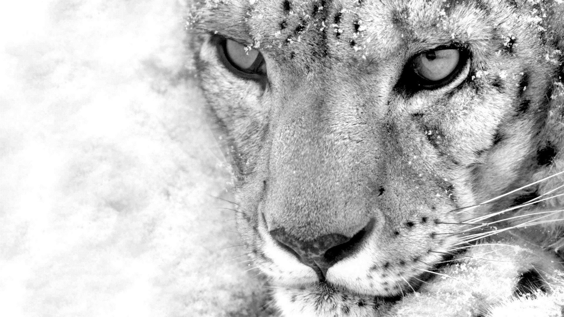 Image – Snow-leopard-wallpaper.jpg – Naruto-Fanon Central Wiki
